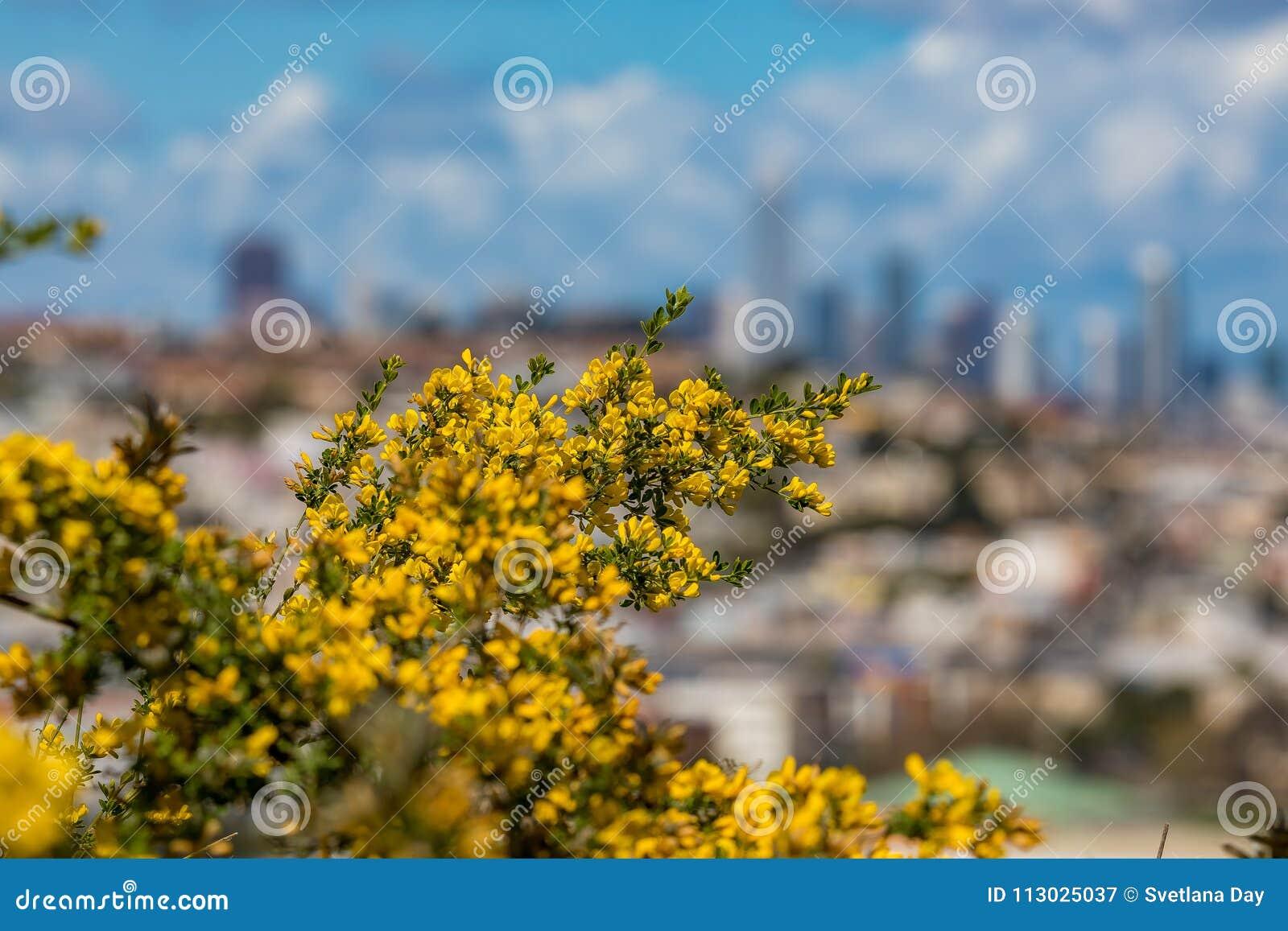 La floración florece con el horizonte borroso de San Francisco en el backg