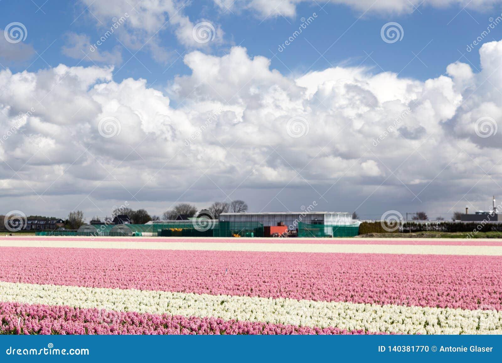 La floración subió los tulipanes en la primavera holandesa en los campos