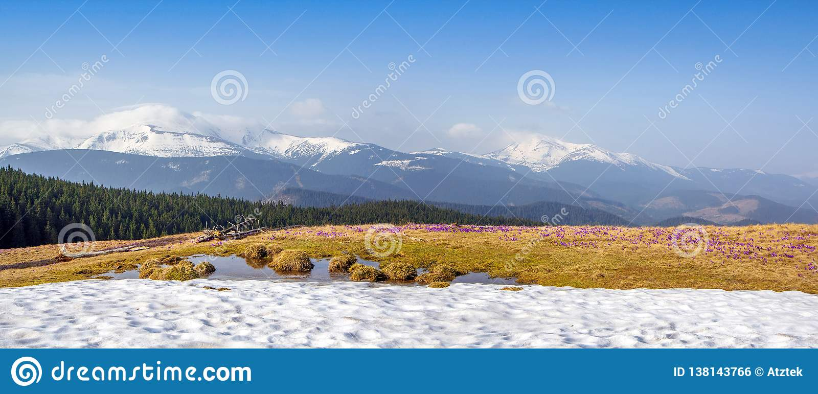 La fonte de neige de ressort et dans les vallées carpathiennes élèvent de beaux crocus alpins de fleurs, ils sont également Geyfe