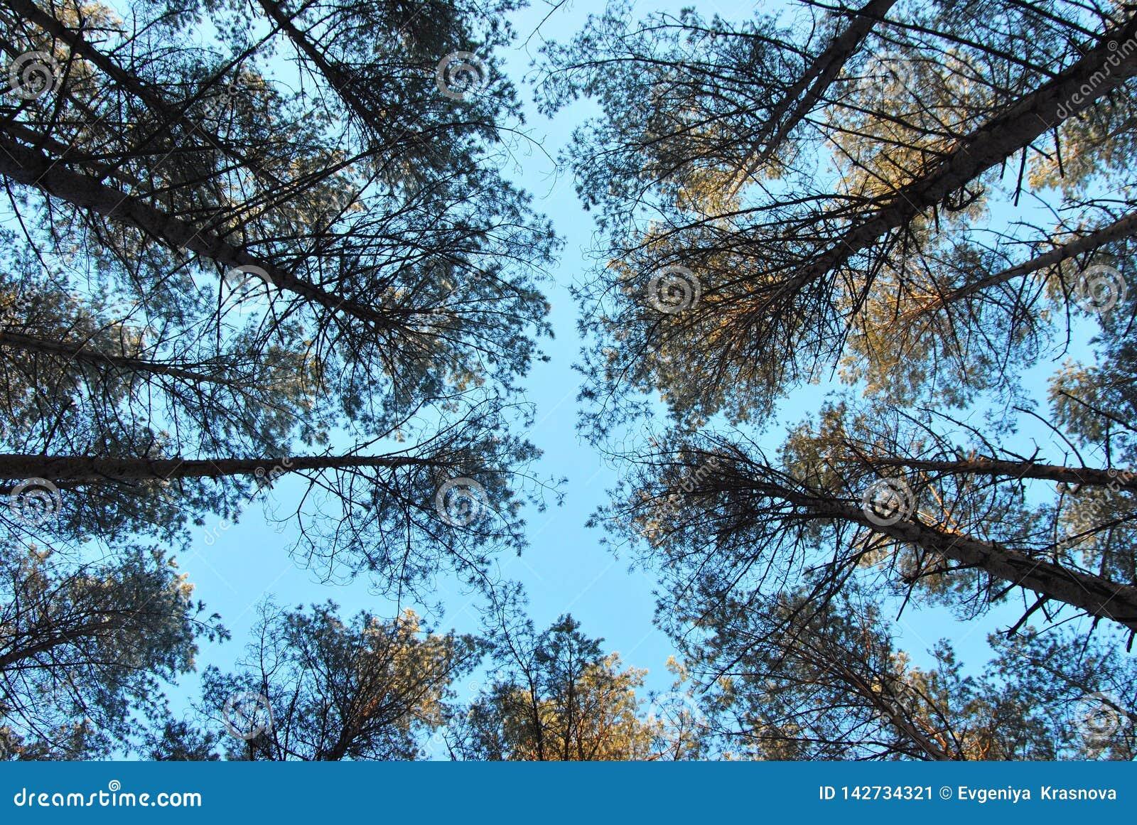 La forêt de pin contre le ciel bleu