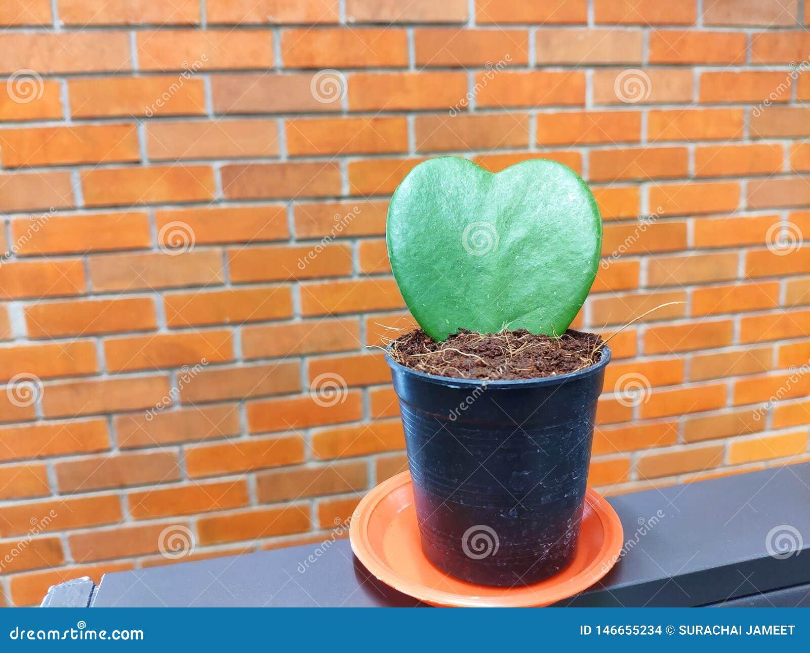 La forme verte de coeur du cactus est dans un pot noir avec un fond de mur de briques