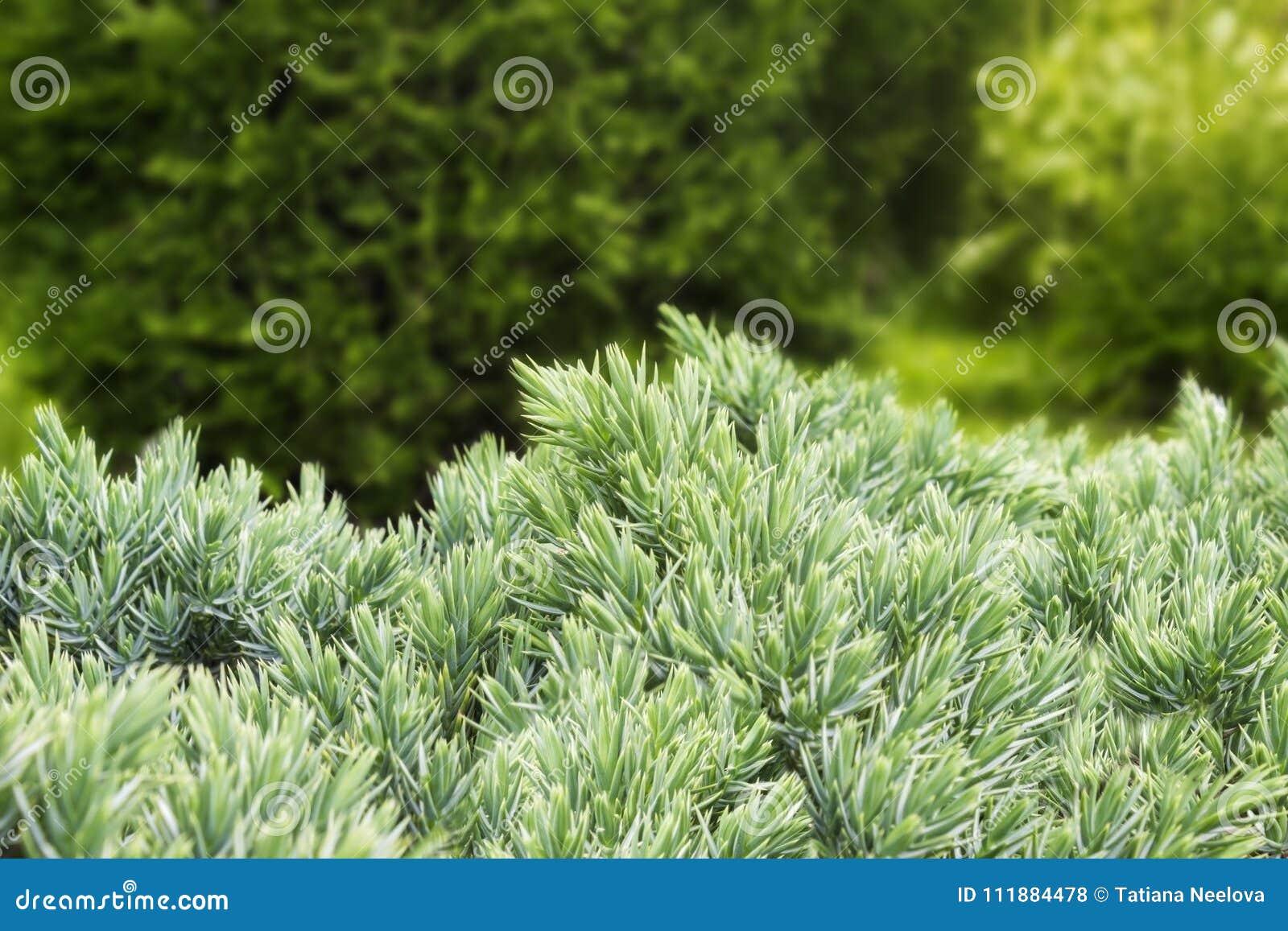 Cespugli Sempreverdi Con Fiori la foto del cespuglio di ginepro sempreverde con gli aghi