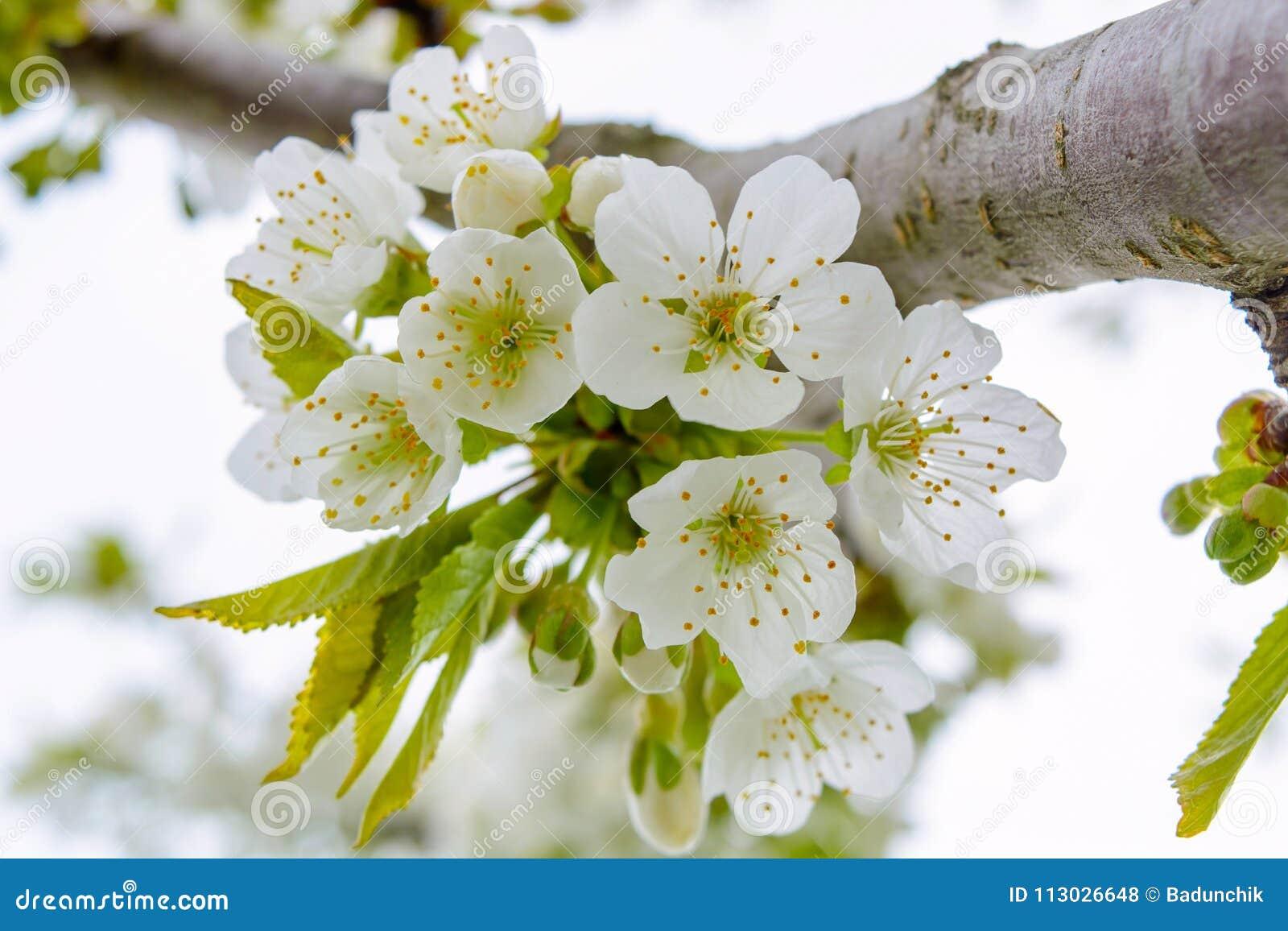 La foto del manzano floreciente ramifica contra el cielo