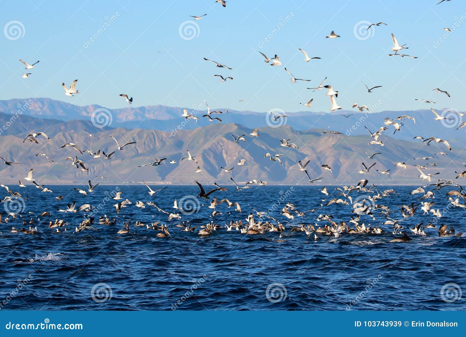 La frénésie de alimentation en mer outre de côte de la Californie avec des oiseaux de mer et font