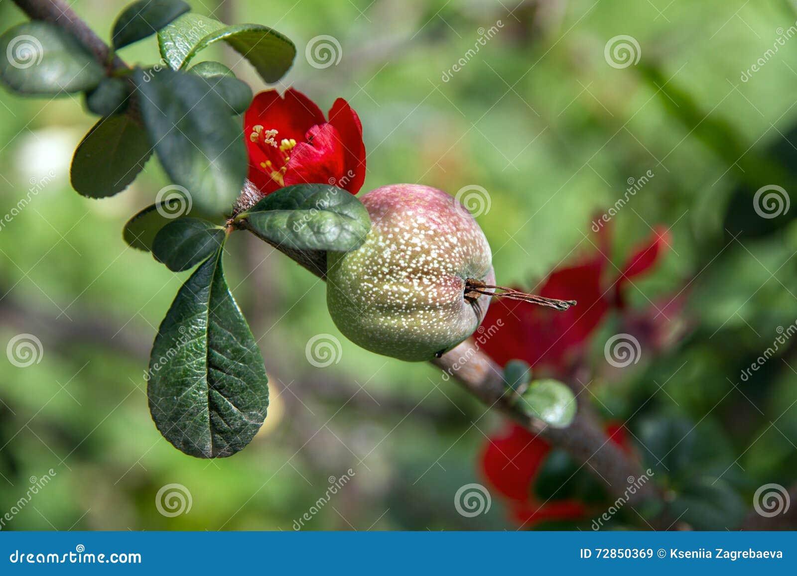 La frutta sull 39 albero con i fiori rossi immagine stock for Albero con fiori blu