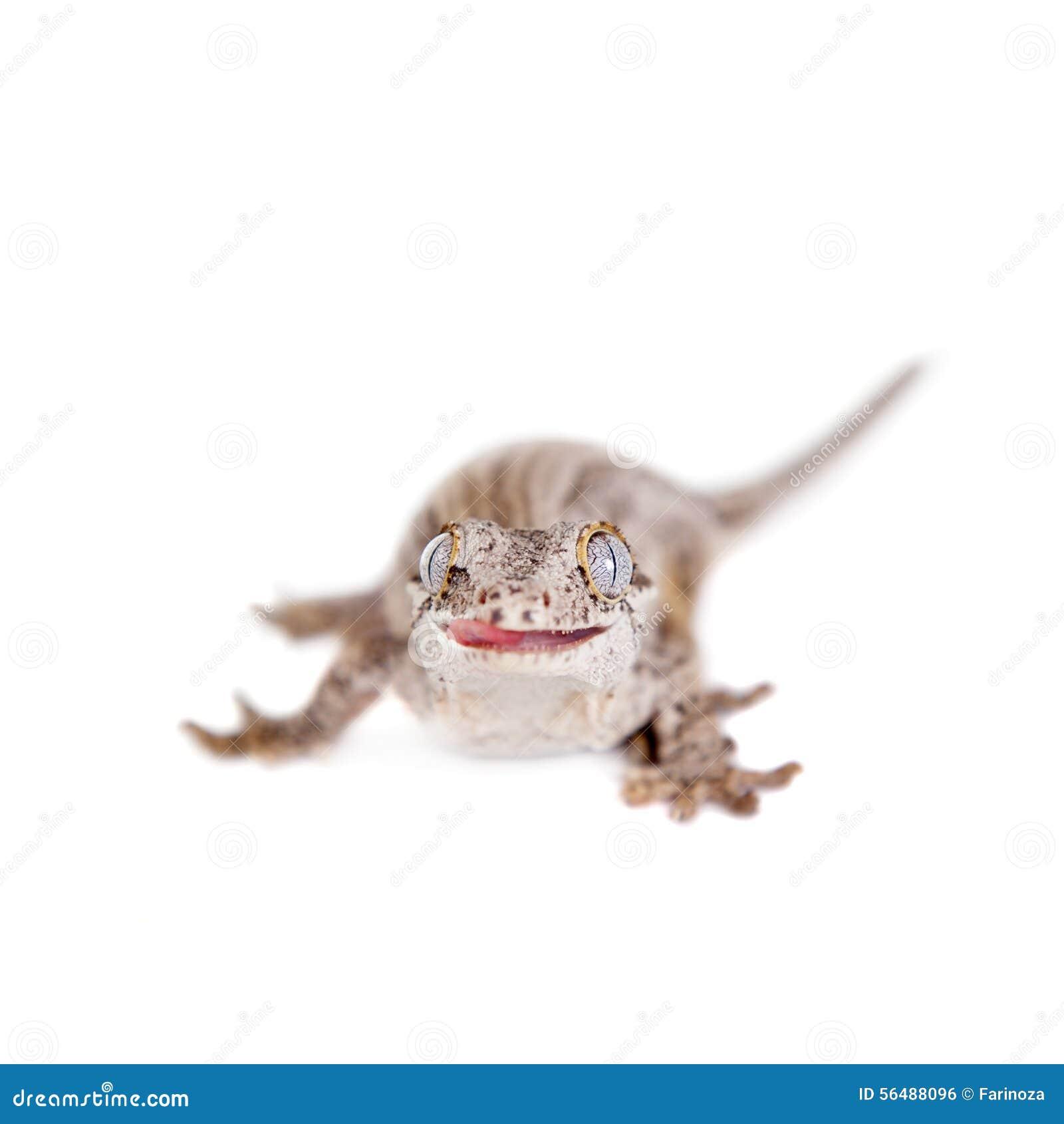 La gargouille, nouveau gecko inégal calédonien sur le blanc
