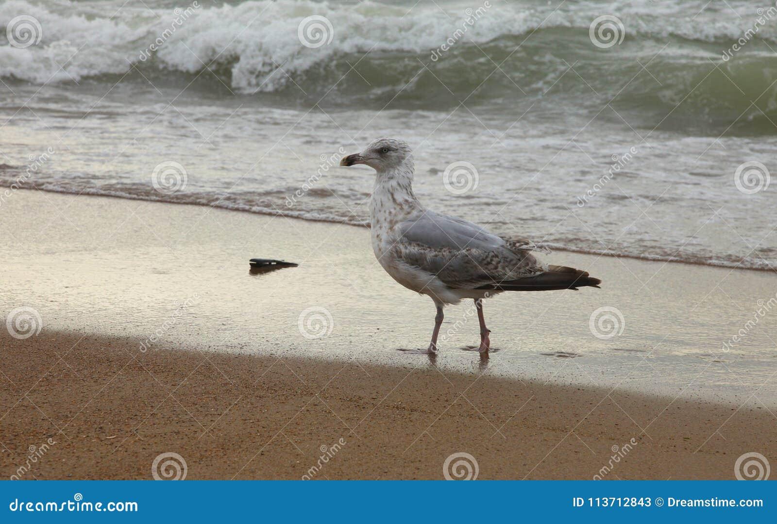 La gaviota orgullosa sale del Mar del Norte en Ostende