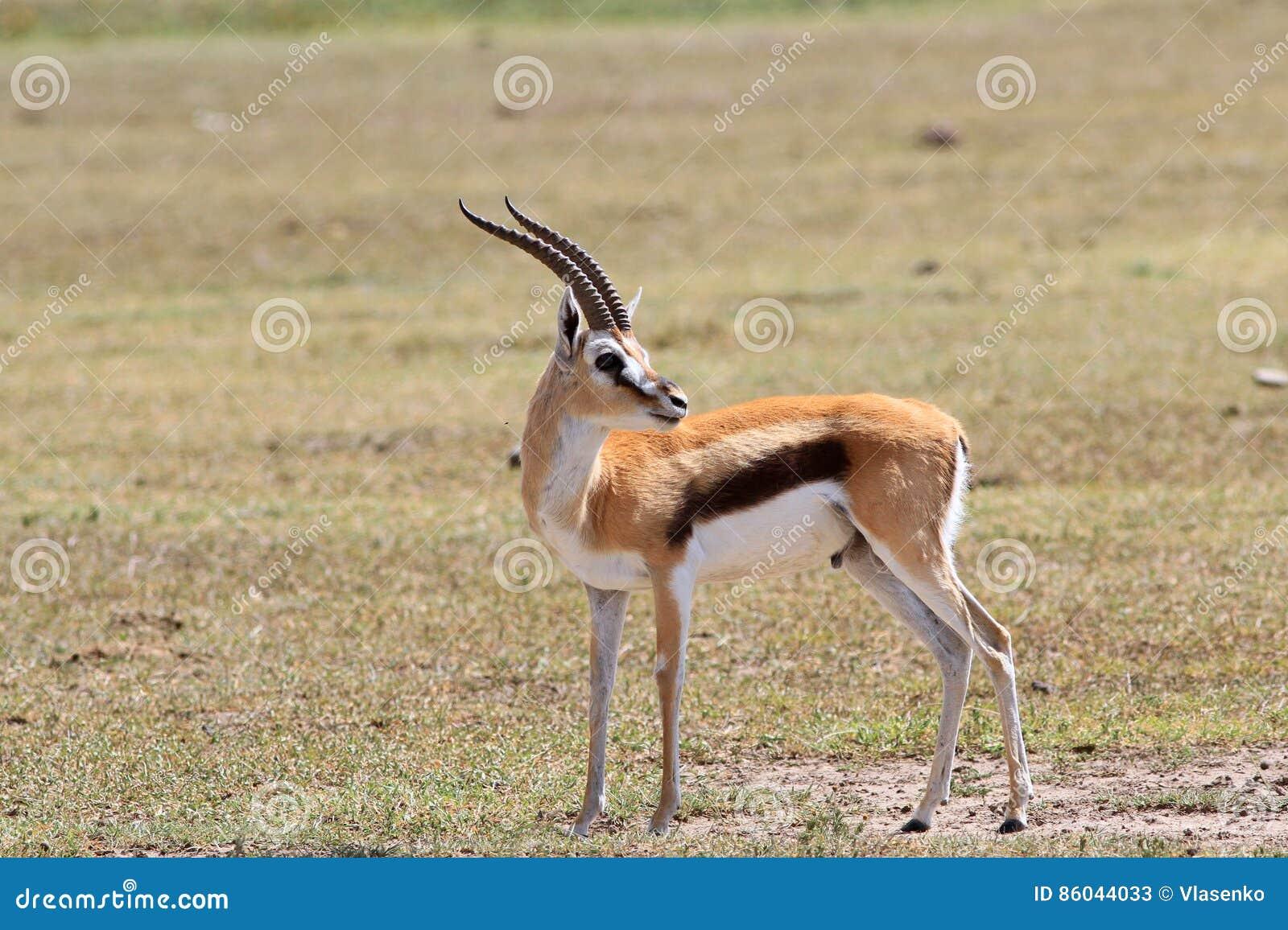 La Gazelle Adulte Du ` S De Thomson Image stock - Image du tourné ...