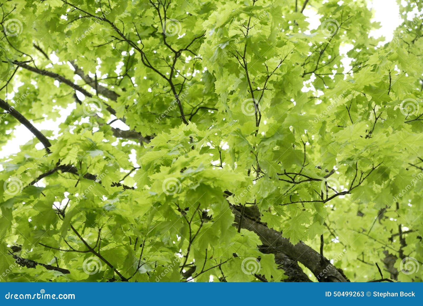 La germania baviera ebenhausen foglie dell 39 acero riccio for Acero riccio