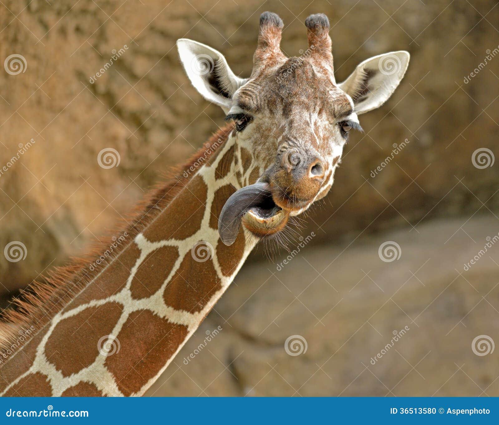 La girafe colle sa langue