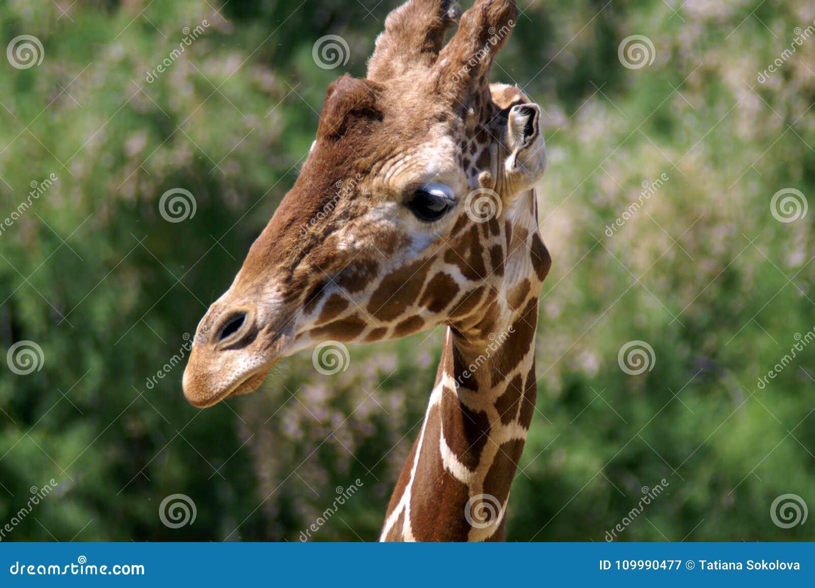 La giraffa ha torto il suo collo e ci ha esaminati