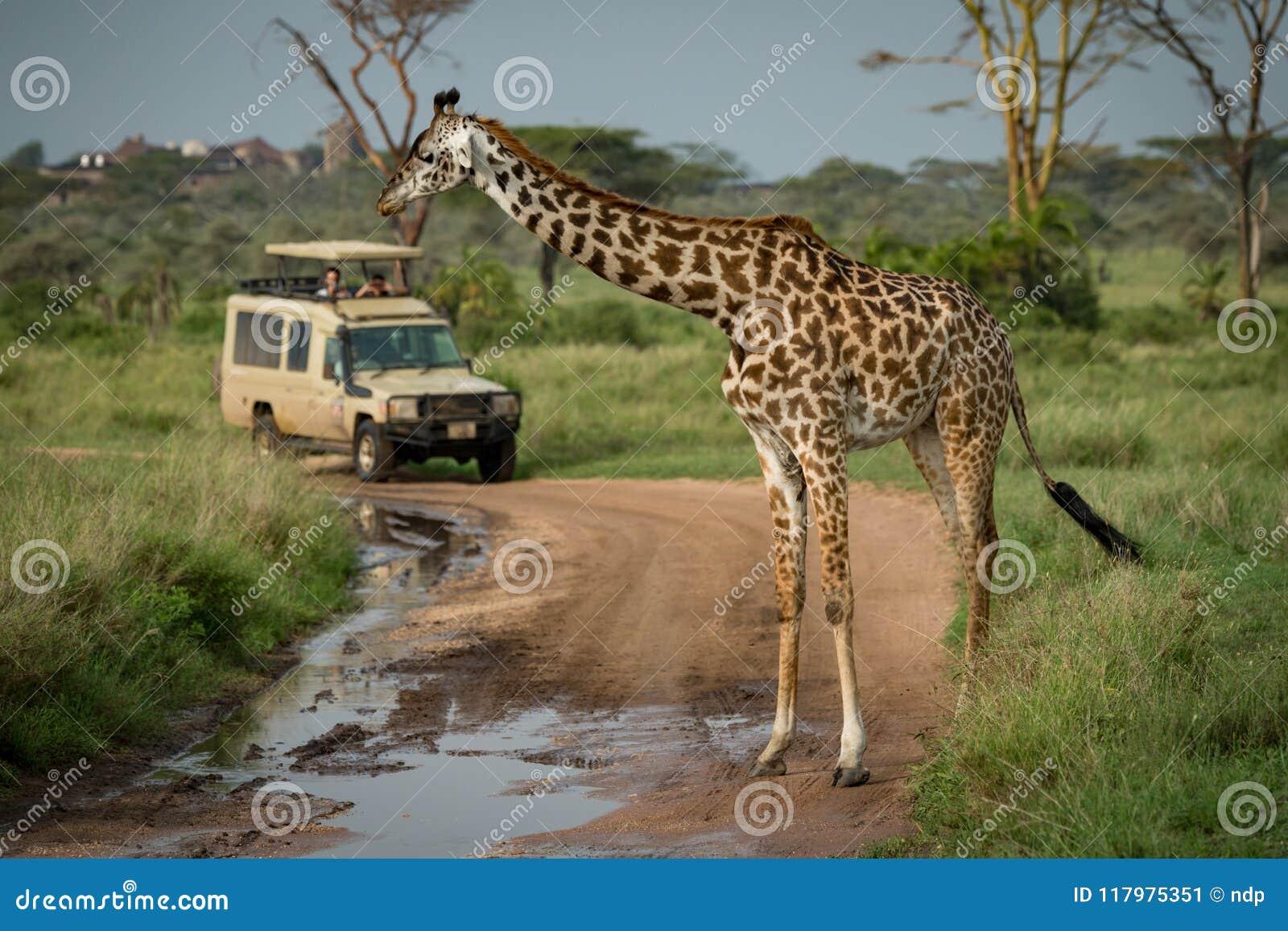 Download La Giraffa Masai Sta Davanti Alla Jeep Immagine Stock - Immagine di macchiato, wildlife: 117975351