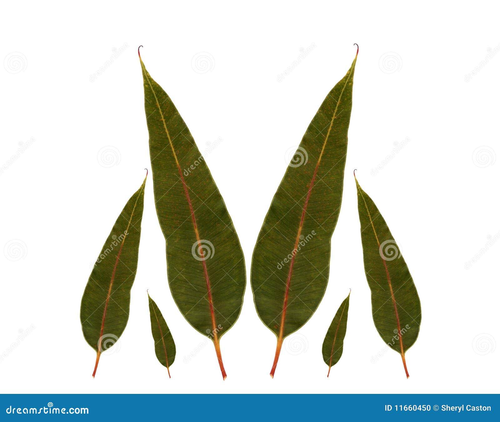 La gomme d 39 eucalyptus quitte la plante originaire australienne photo stock image 11660450 - Plante a la gomme ...