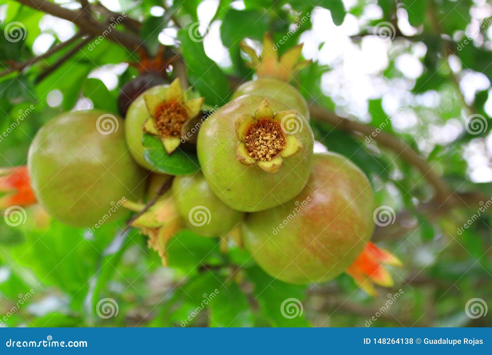 La granada roja esta fruta tiene una piel gruesa que vaya de amarillo de oro al escarlata y dentro de las semillas son rodeados p