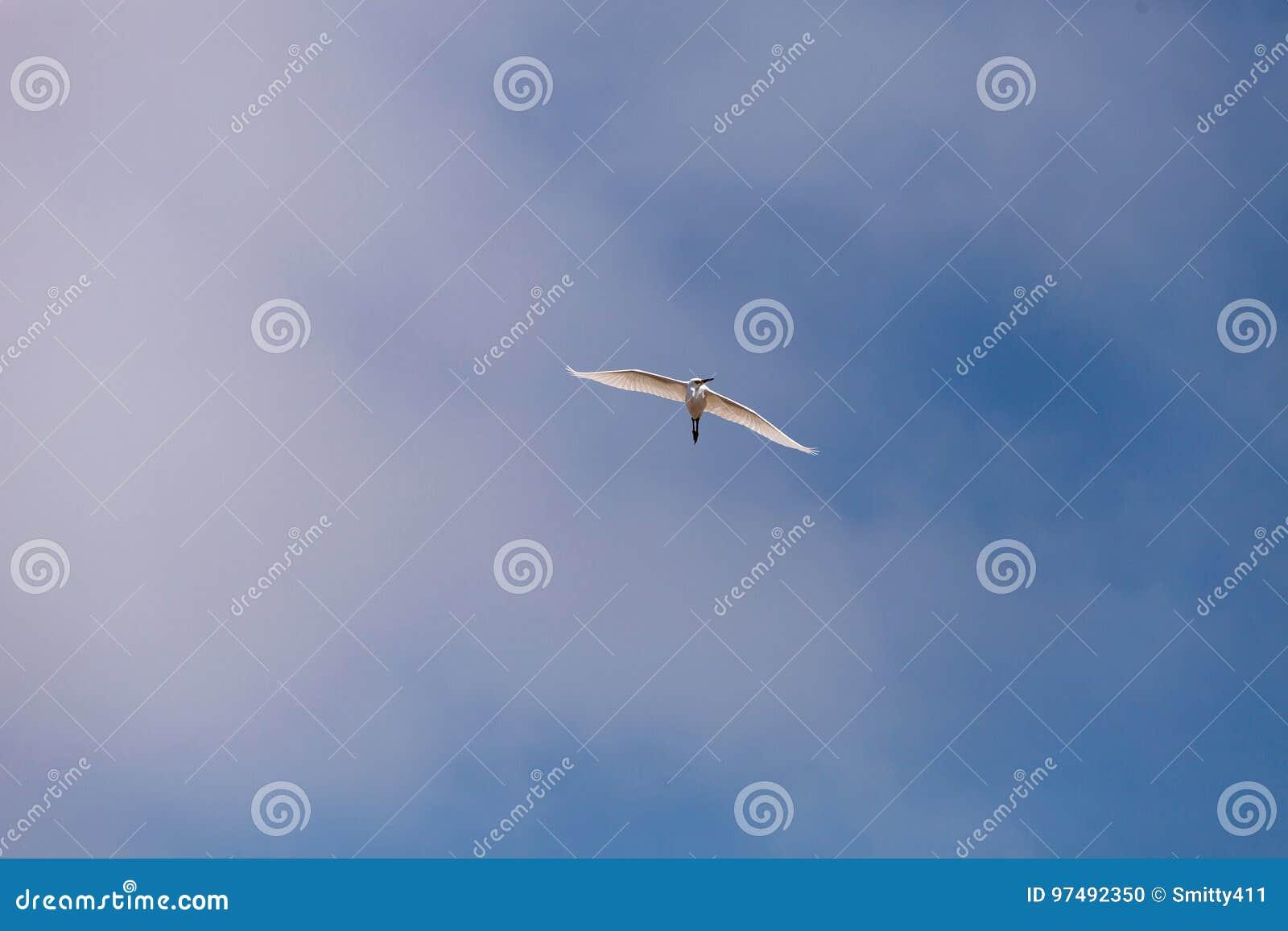 La grande ardea dell egretta alba sorvola una palude in Bolsa Chica Wetland