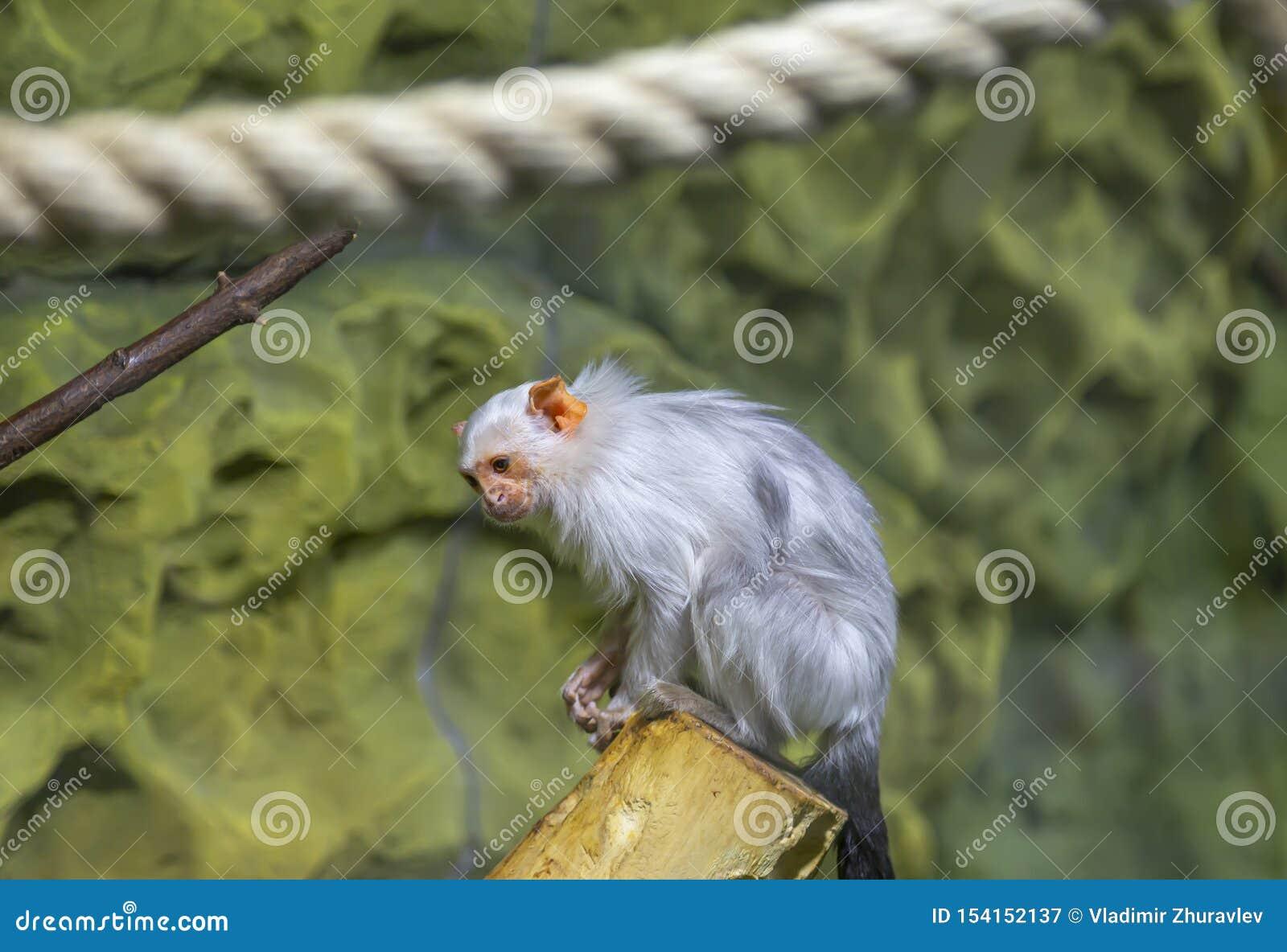 La grande image d un petit singe, plan rapproché