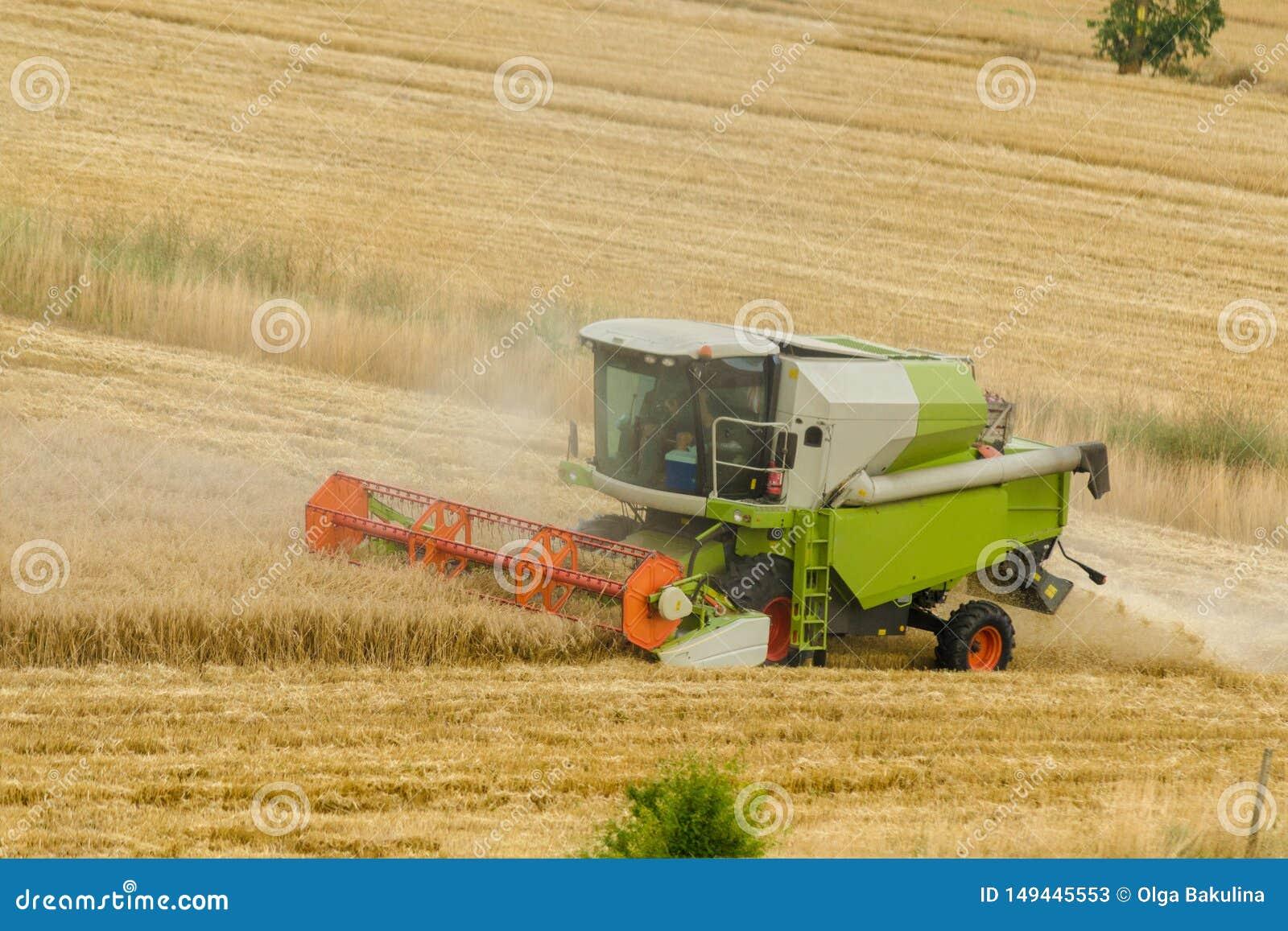 La grande machine verte de moissonneuse de cartel fonctionnant dans un domaine d or de blé, fauche l herbe dans le domaine d été