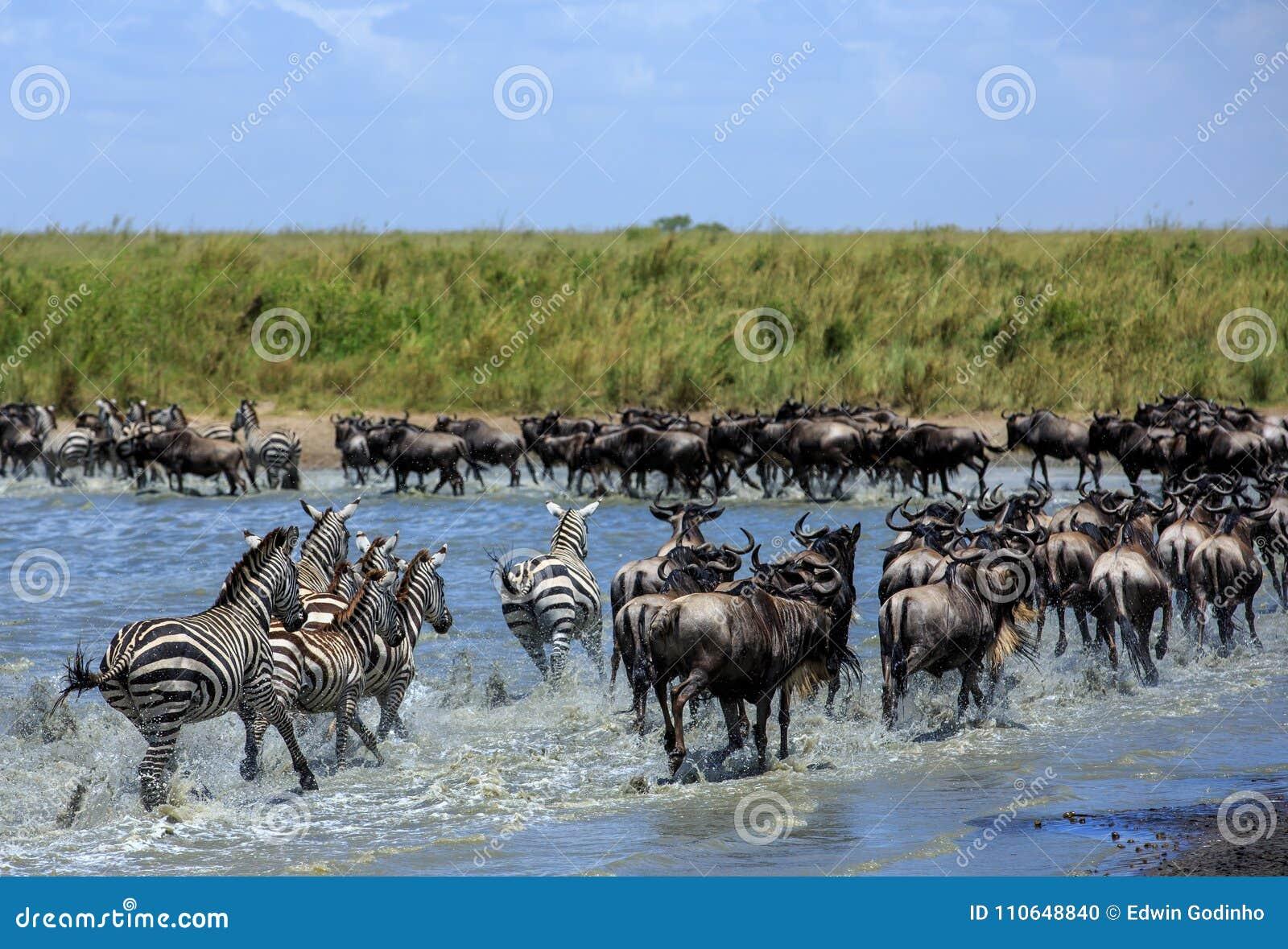 La grande migrazione nel Serengeti - gnu e zebre