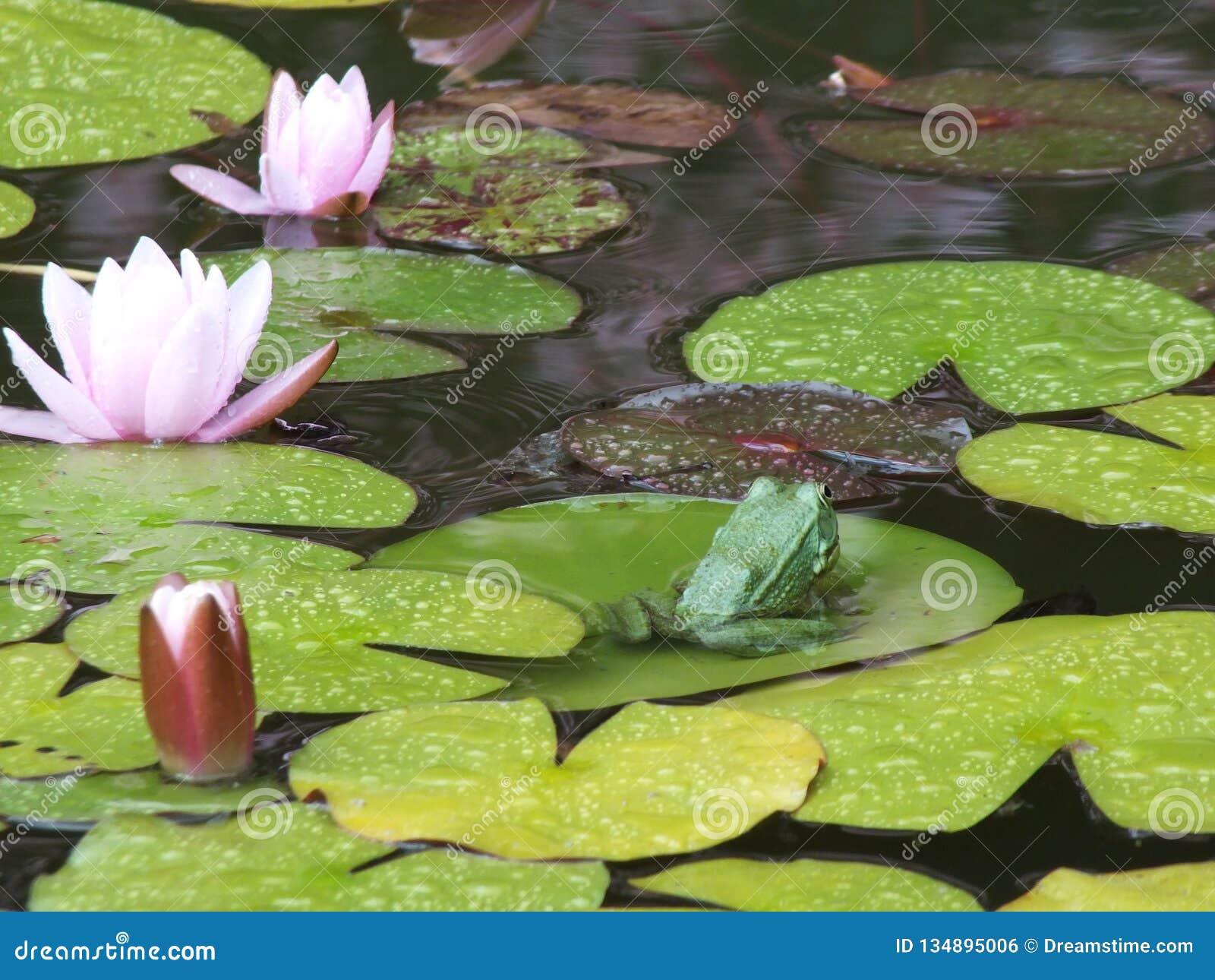 La grenouille offensée a tourné loin Parc avec des lis