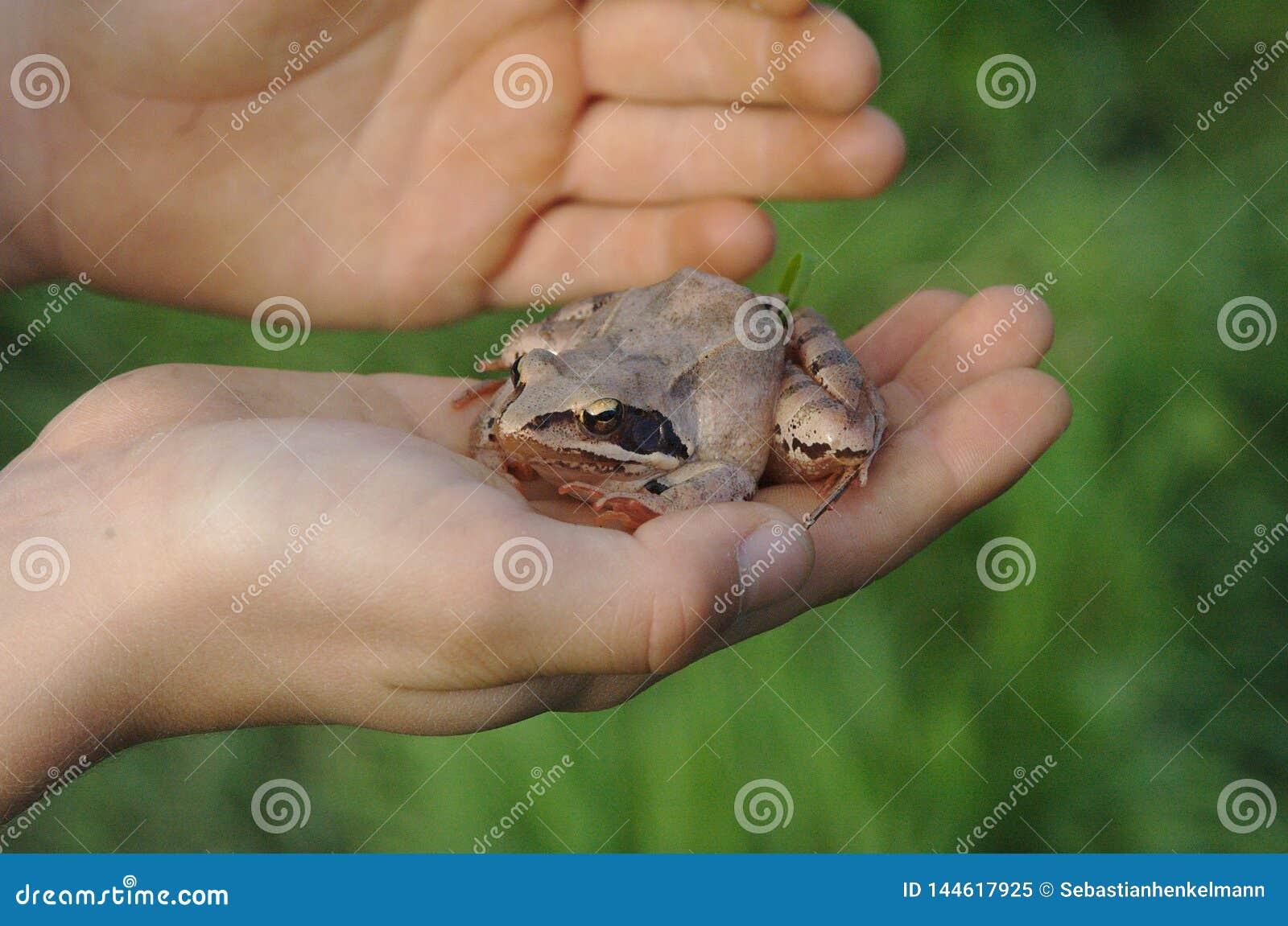 La grenouille se repose en main