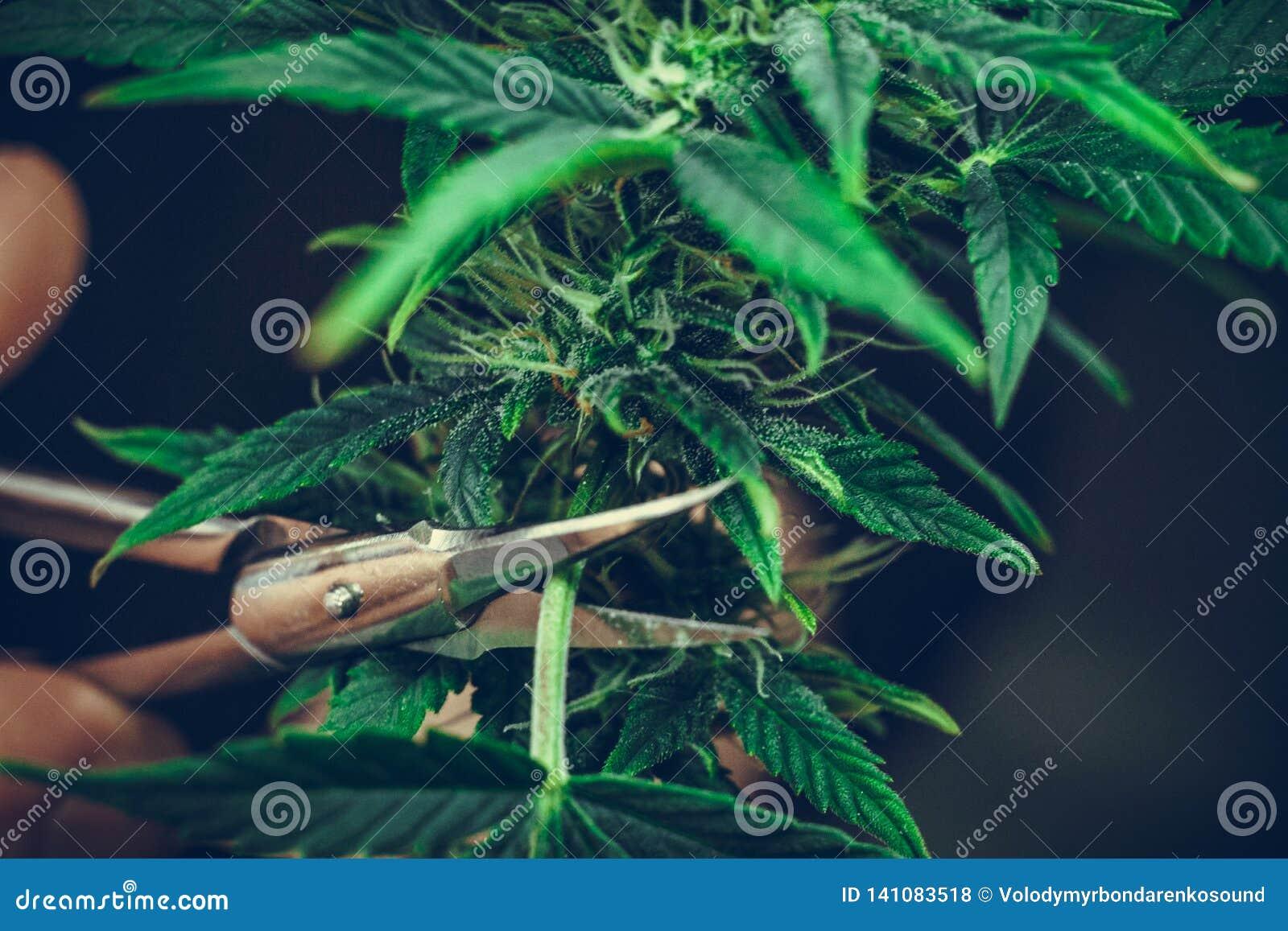 La guarnizione della persona va del primo piano medico della pianta di marijuana Pianta della cannabis che cresce dell interno