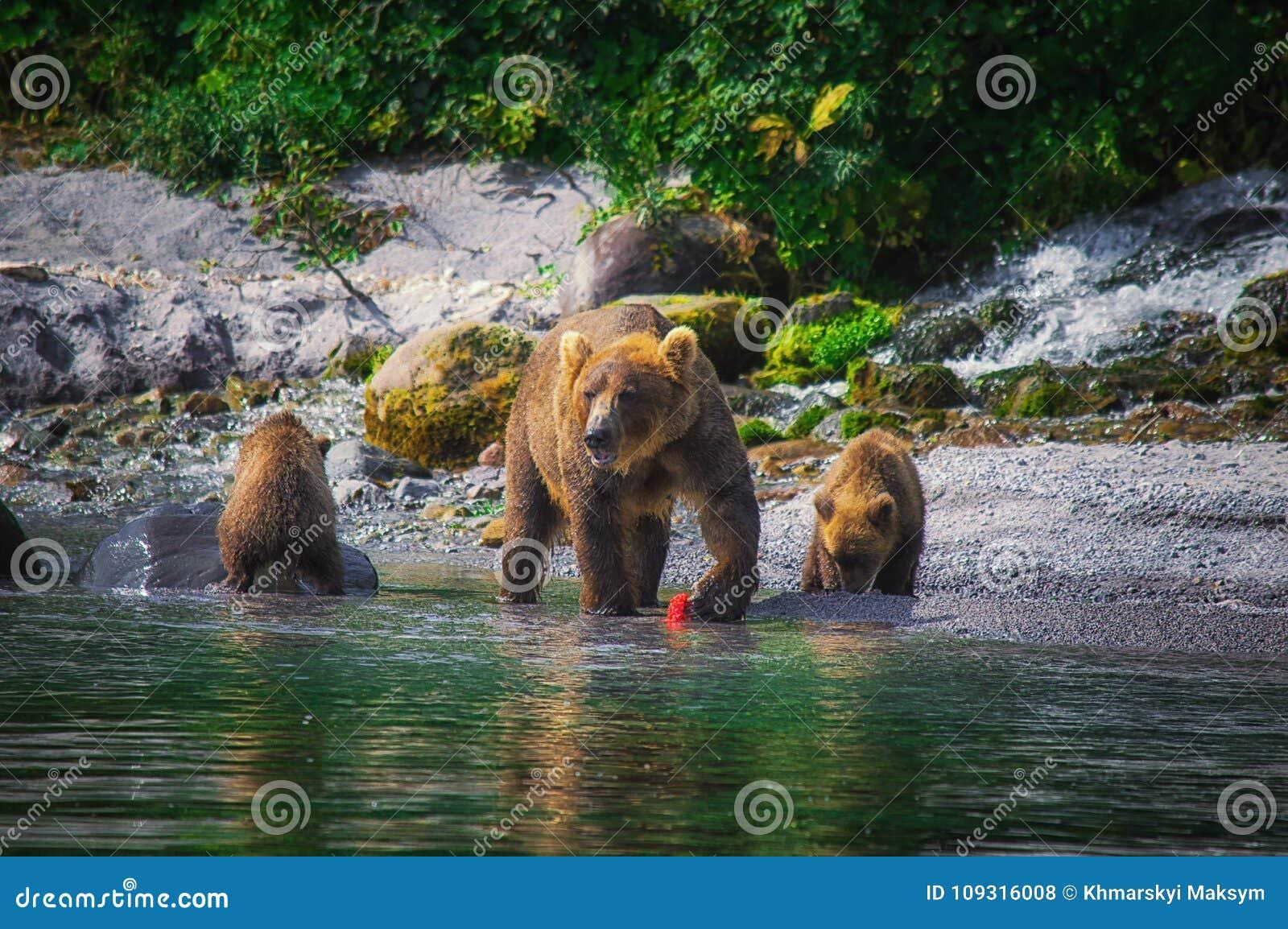 La hembra del oso marrón de Kamchatka y los cachorros de oso cogen pescados en el lago Kuril Península de Kamchatka, Rusia