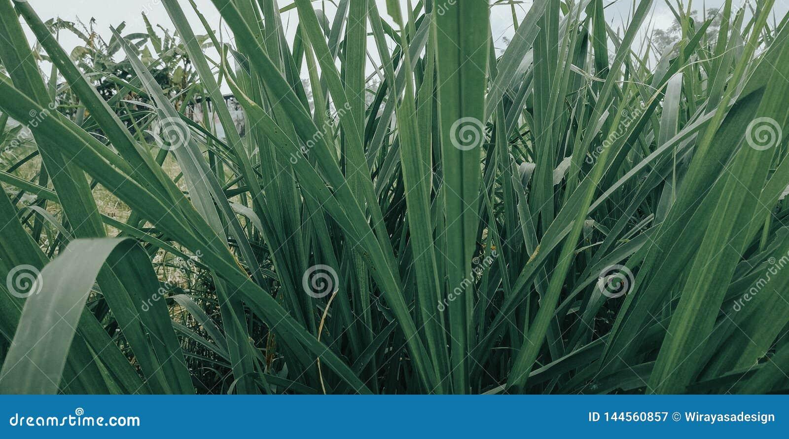 La hierba con las hojas verdes, es muy fresca naturalmente