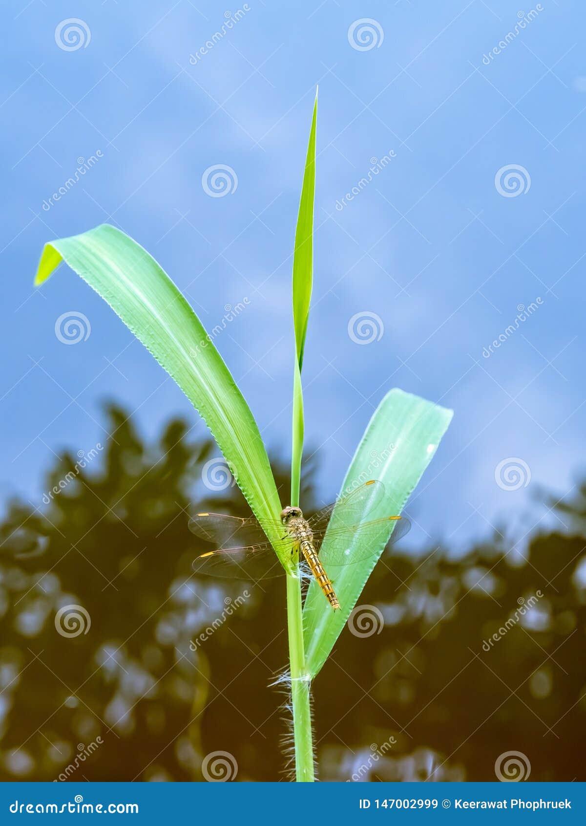 La hierba con las libélulas encaramadas en el tronco