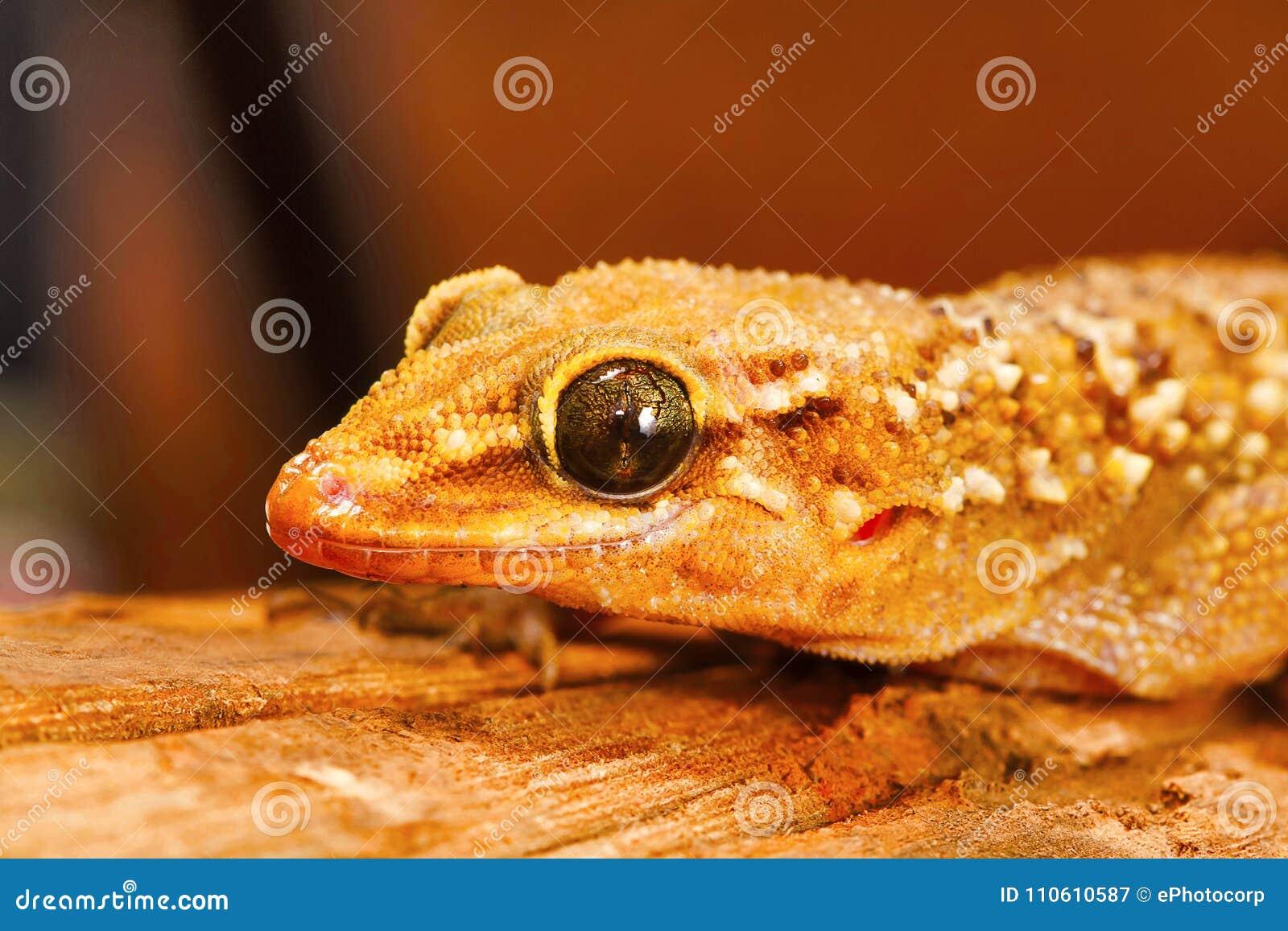 La hoja tocó con la punta del pie la salamandra, parvimaculatus de Hemidactylus, santuario de fauna de Bhoramdeo, Chhattisgarh