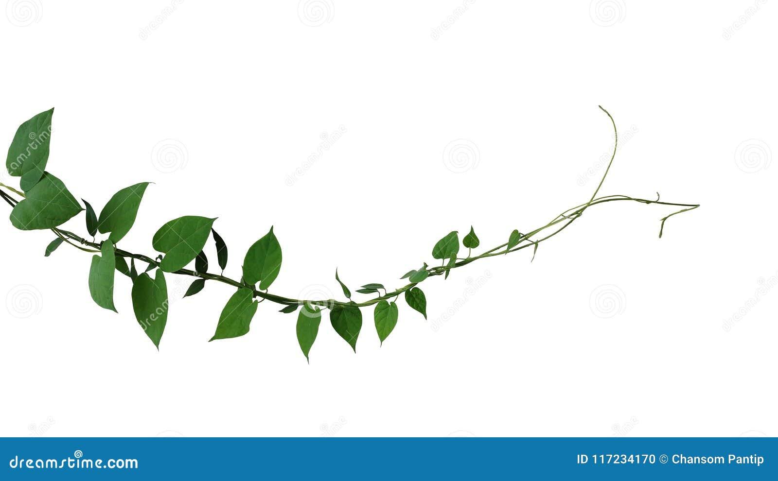 La hoja verde oscuro en forma de corazón torció subir de la liana de las vides de la selva