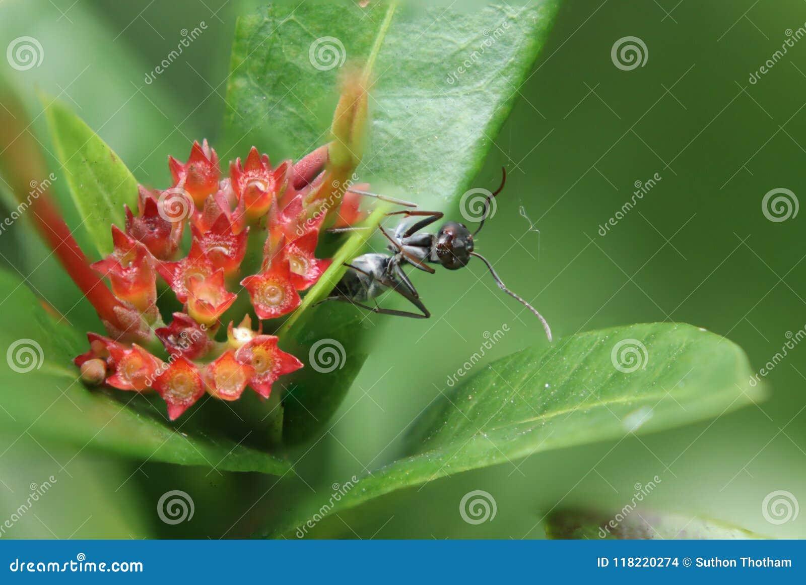 La hormiga de la bala, este tipo de hormiga es famosa por tener extremadamente