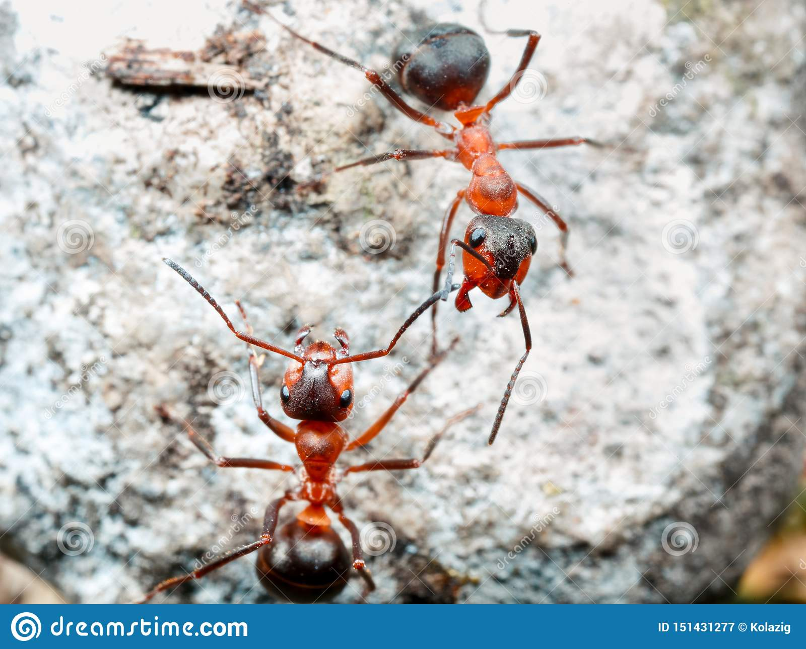 La hormiga es primer
