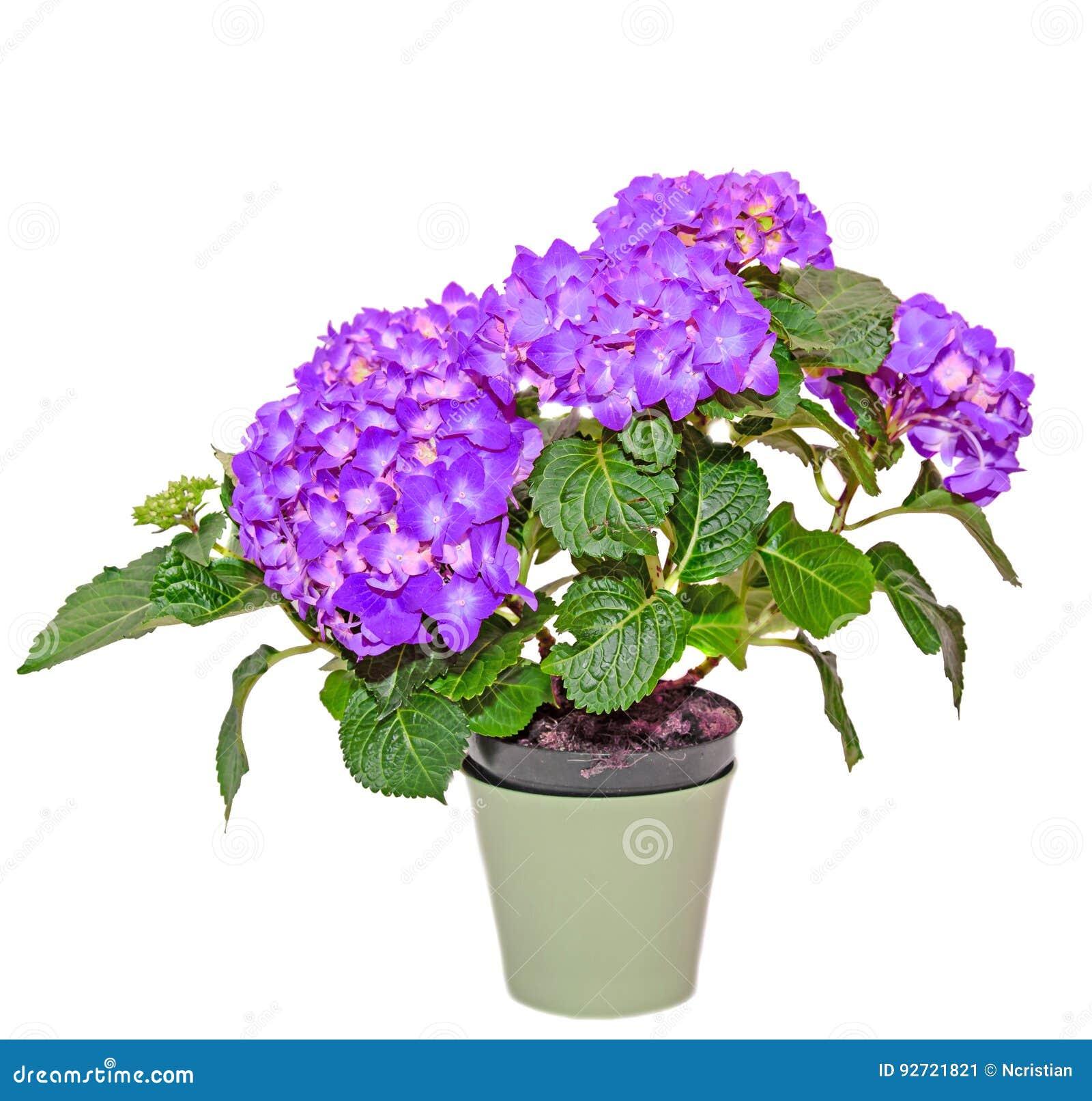 Hortensias Cuidados Poda Poda De Las Hortensias With Hortensias - Hortensias-cuidados-poda
