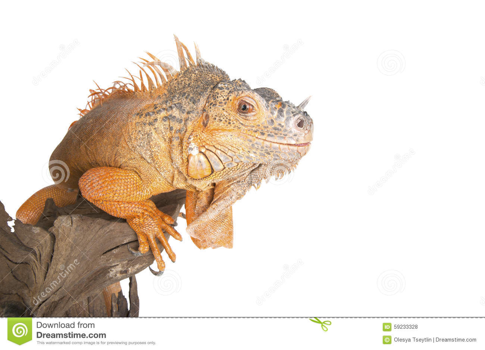 La iguana común (el rojo morph) se cierra para arriba