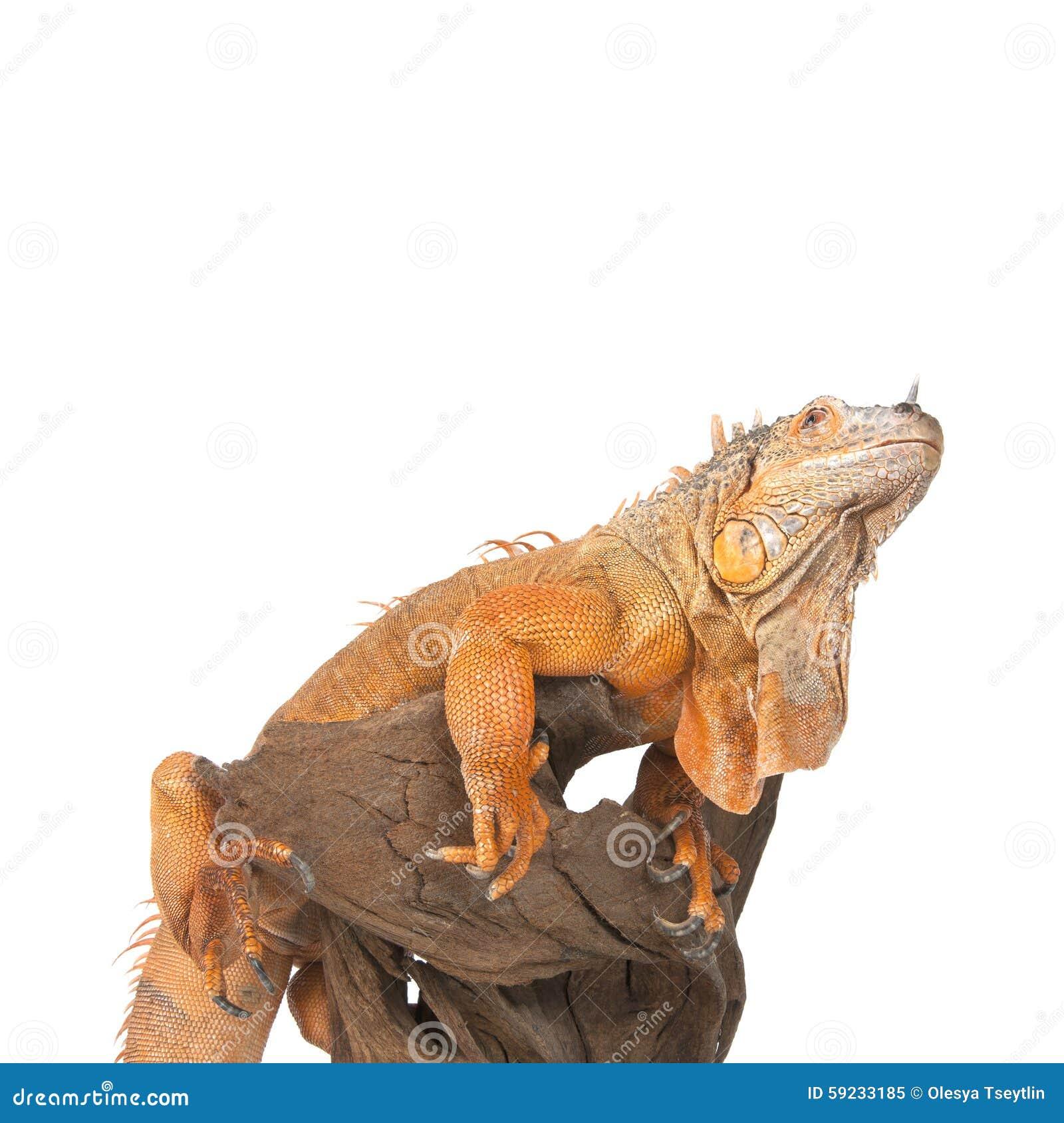 Download La Iguana Se Incorpora En Cierre De La Madera De Deriva Y Mirando Para Arriba Imagen de archivo - Imagen de patas, fondo: 59233185