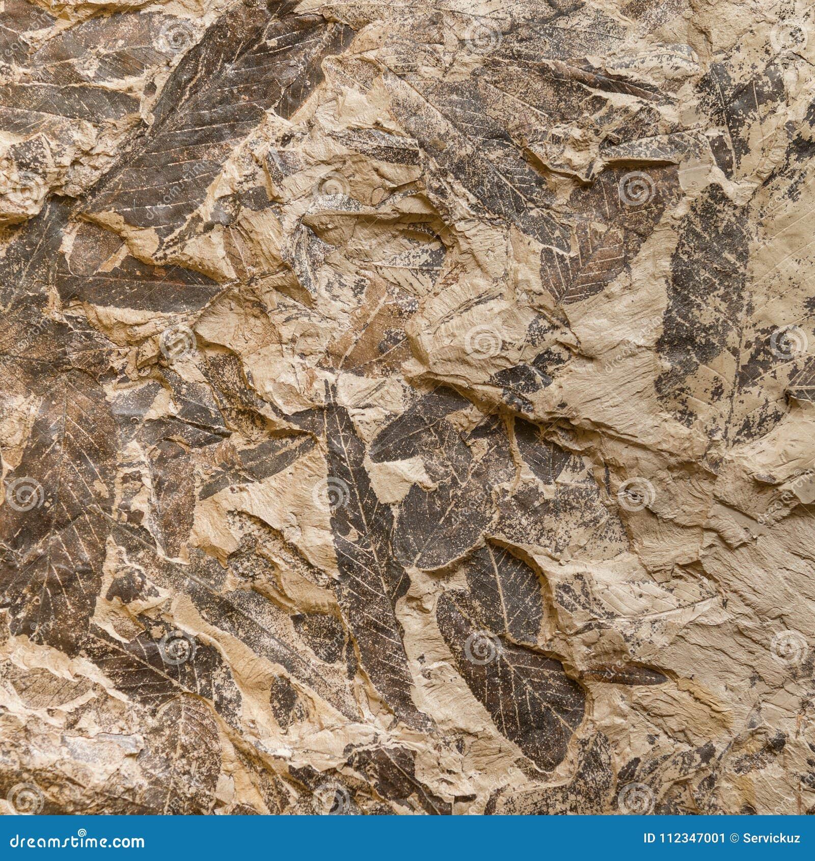 La Impresión De La Planta Prehistórica Fósil Se Va En Piedra