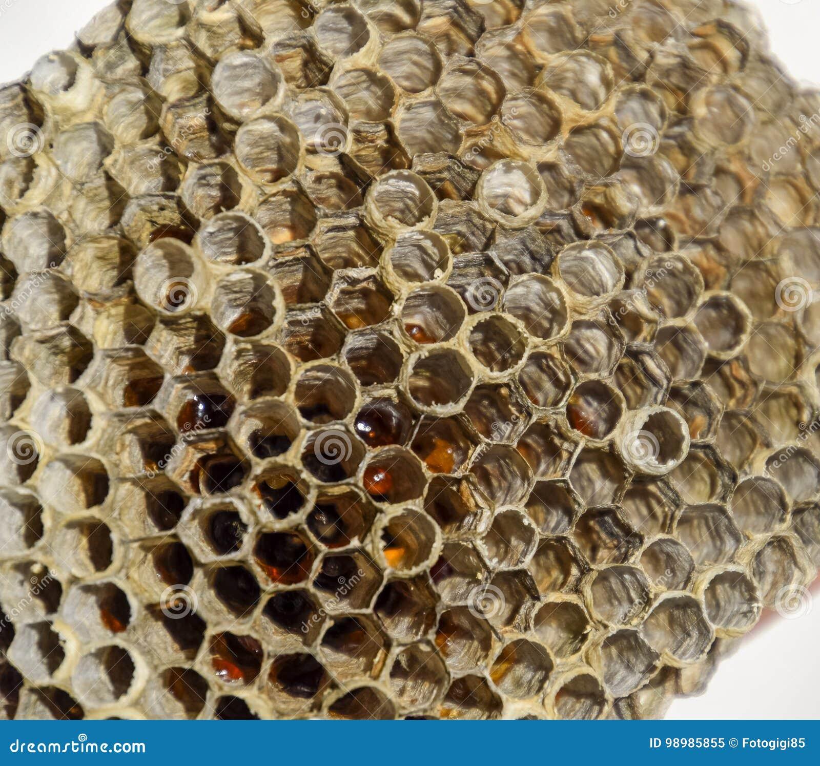 La jerarquía es álamo temblón, polist la jerarquía del álamo temblón en el final de la estación de la cría Acción de la miel en p