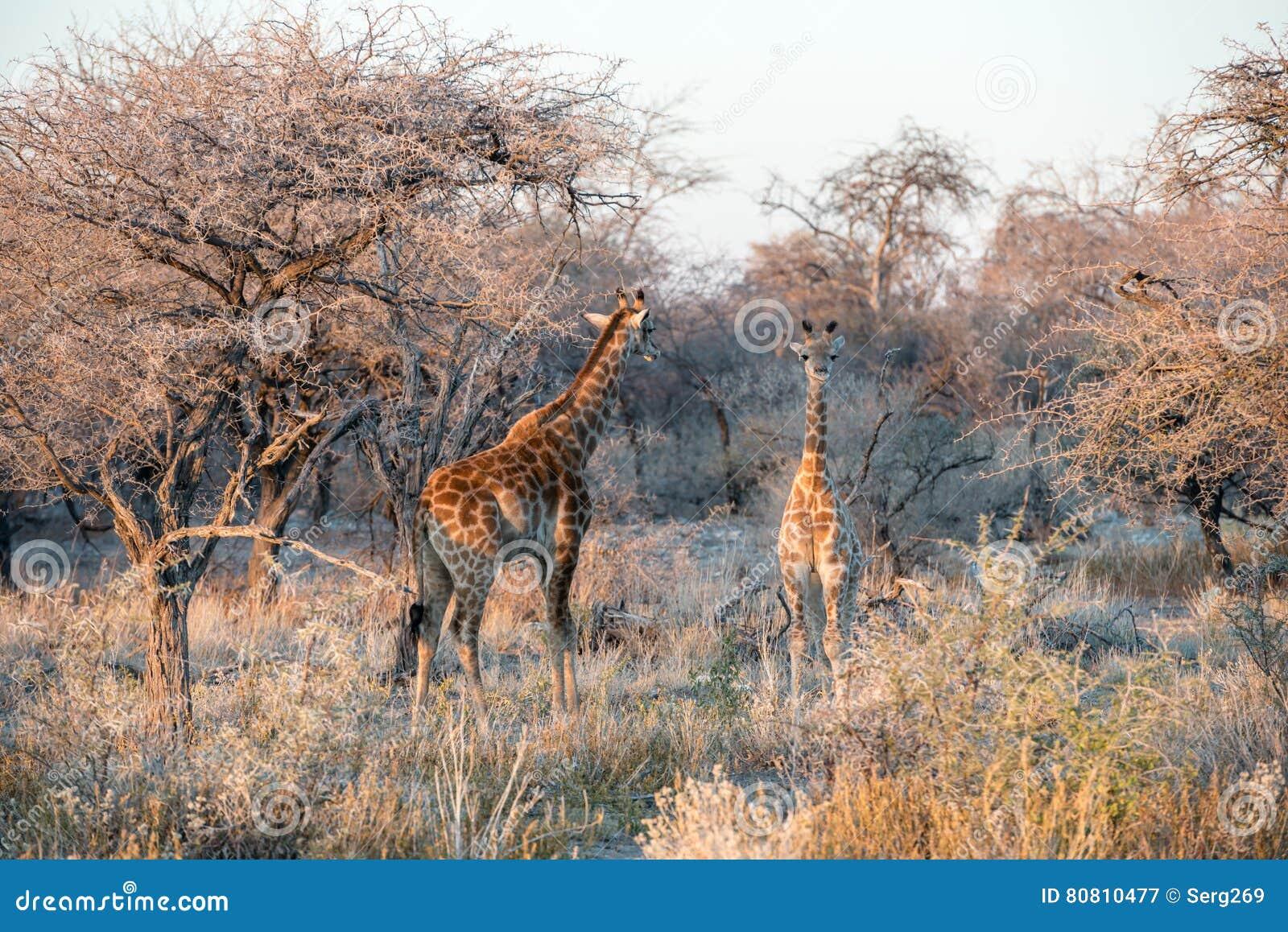La jirafa namibiana divertida joven curiosamente está mirando en cámara