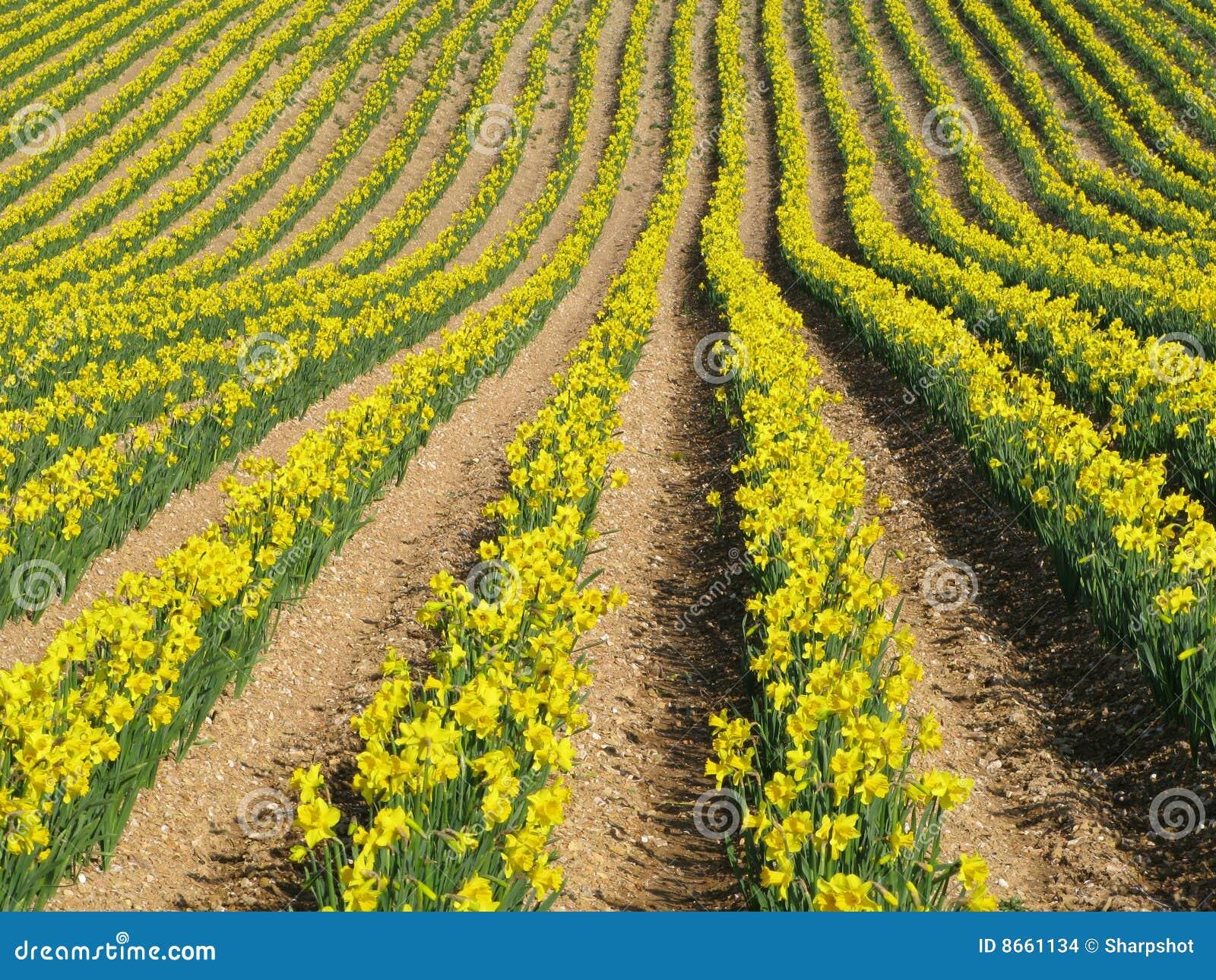 La jonquille fleurit le jaune de source de lignes