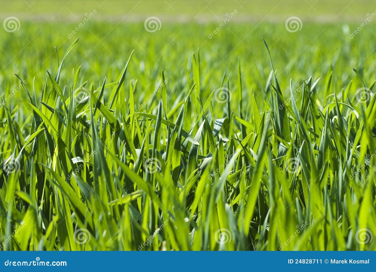 La lámina de la hierba verde