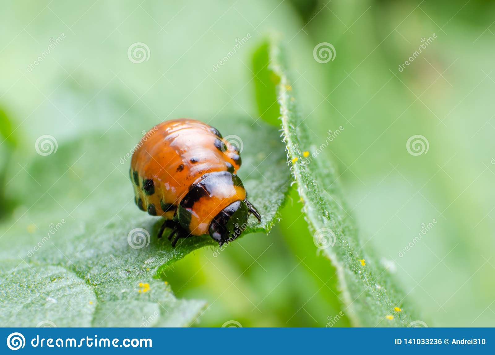 La larva roja del escarabajo de patata de Colorado come las hojas de la patata