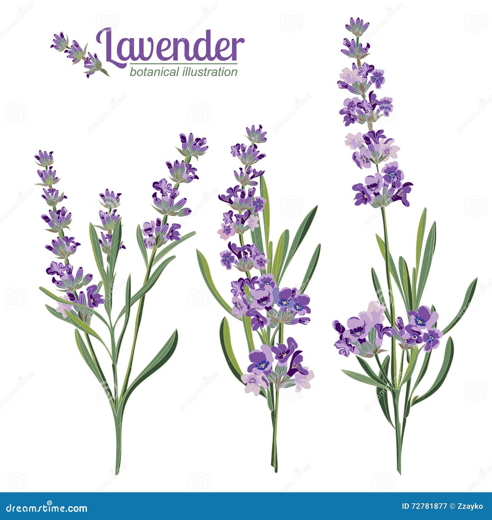La lavande fleurit des éléments Illustration botanique