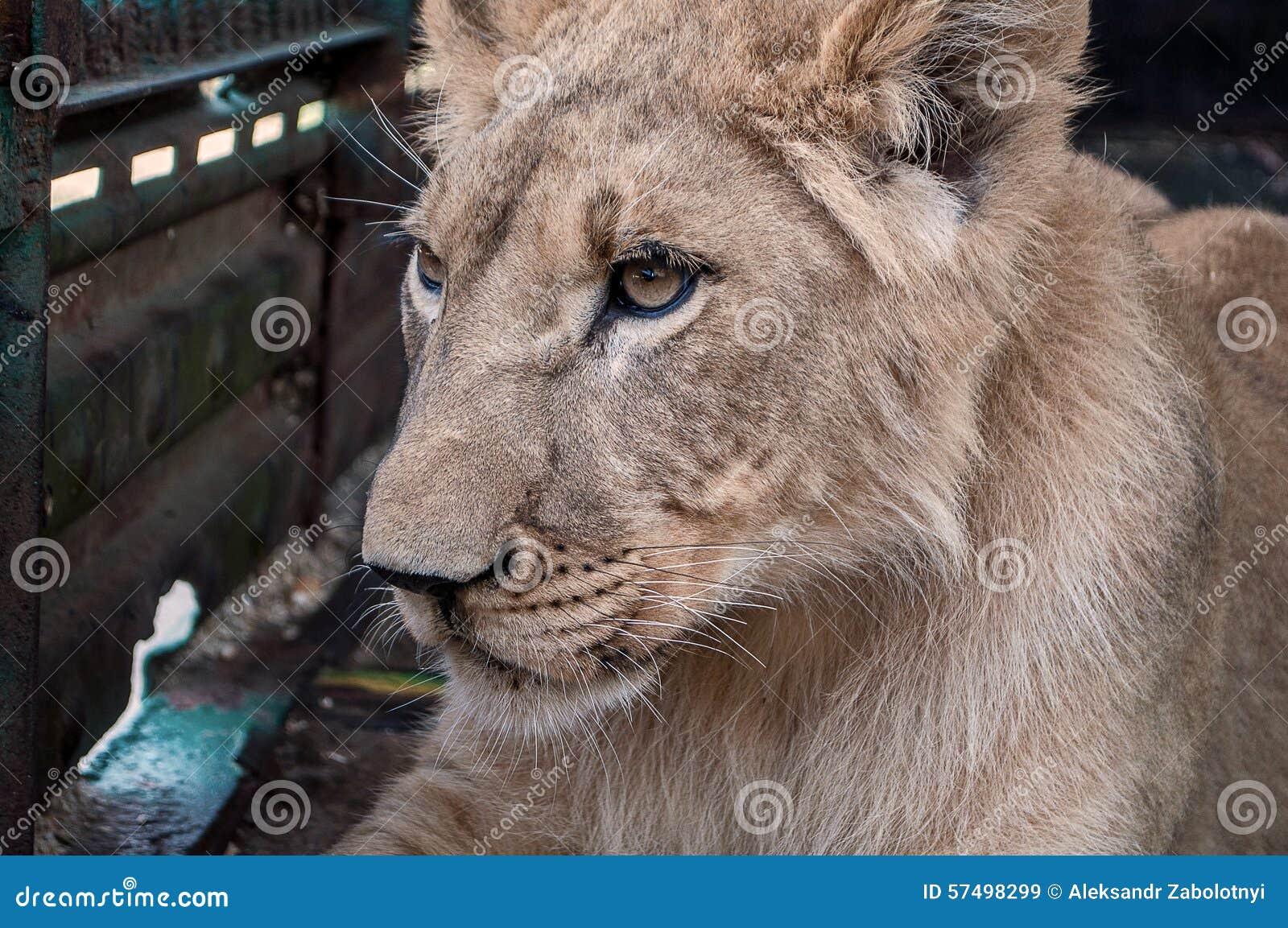 La leona sola miente en los pies y triste