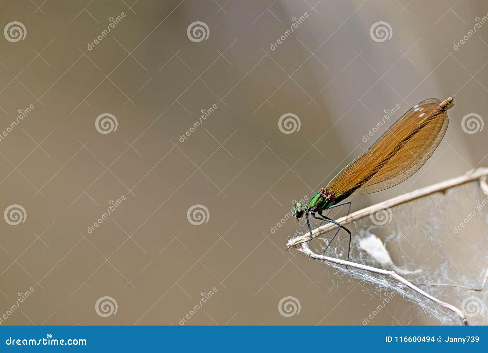 La libélula de bronce del esplendor se sienta en una rama contra fondo marrón borroso