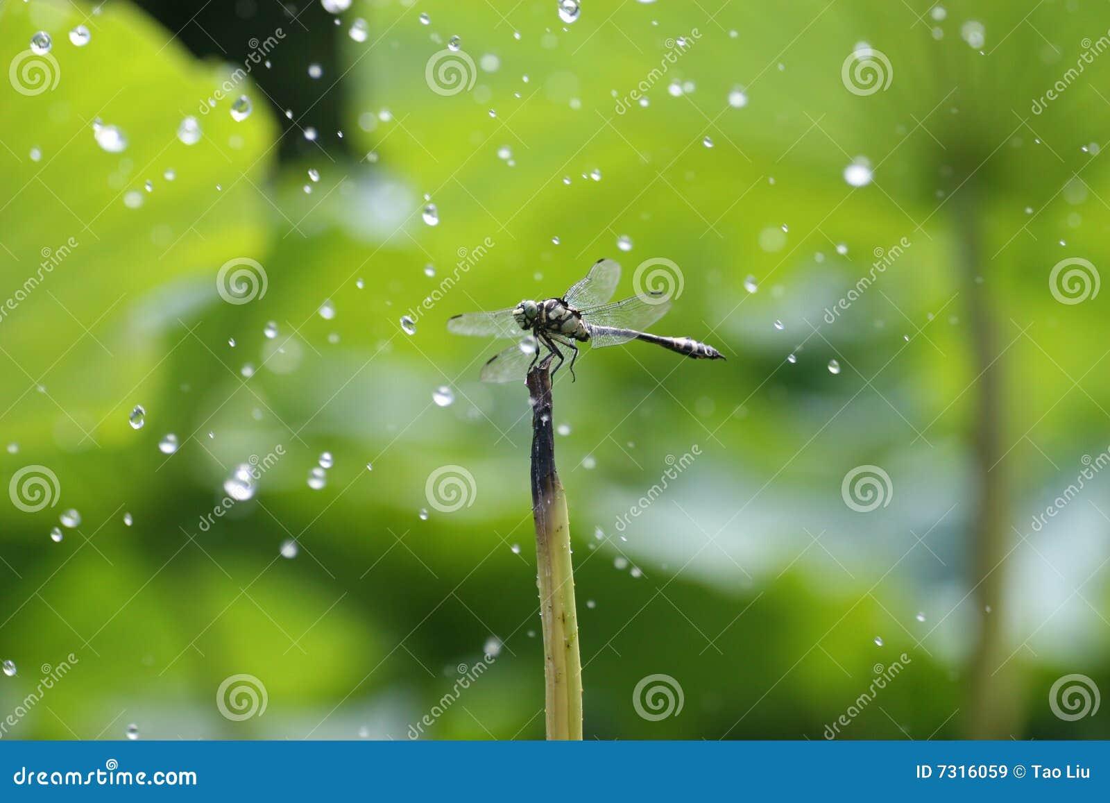 La libellula nella pioggia