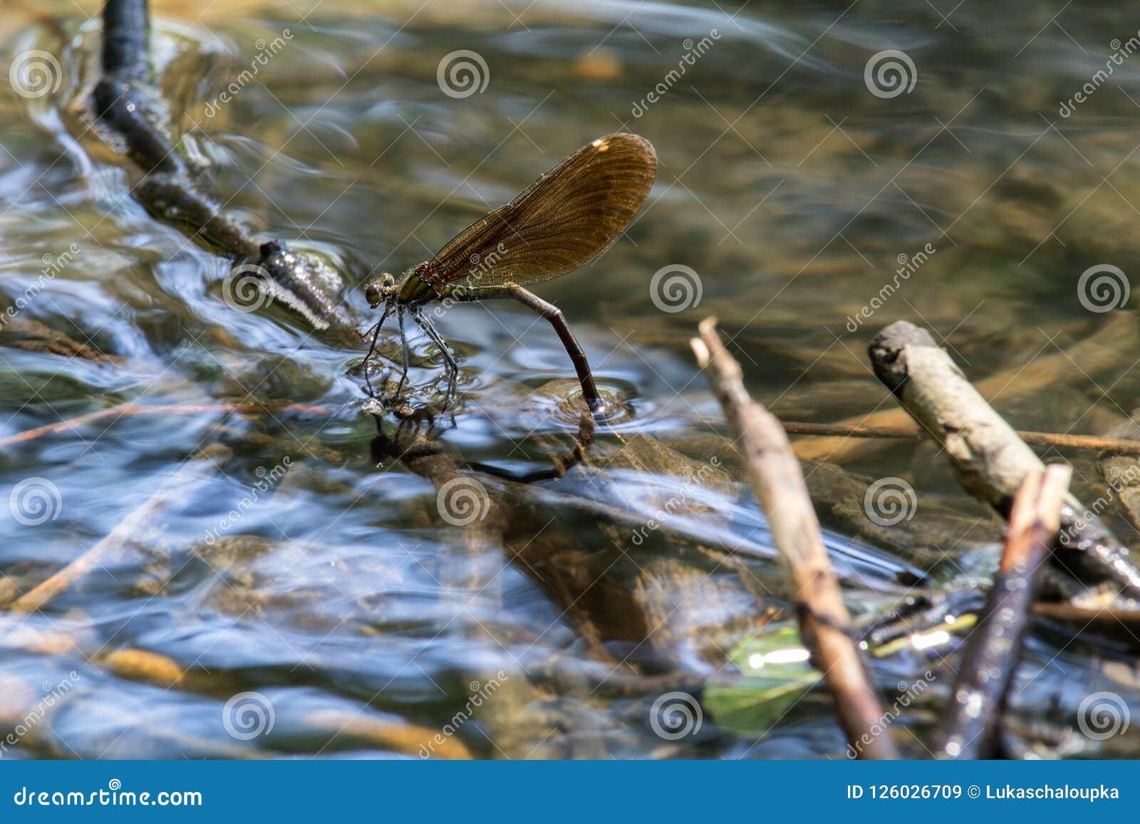 La libellule pondent des oeufs sous l eau, se ferment vers le haut de la photo