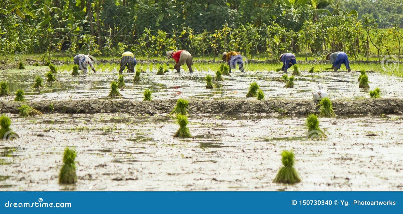 La ligne des agriculteurs plantent le riz