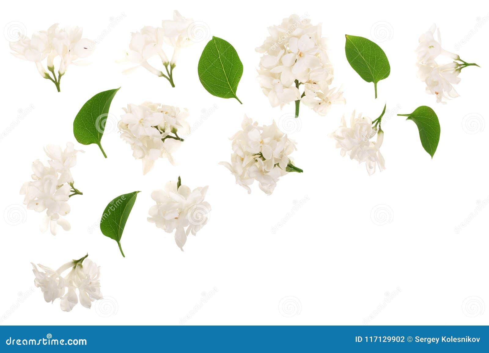 La lila ligera florece, ramifica y las hojas aisladas en el fondo blanco con el espacio de la copia para su texto Endecha plana V