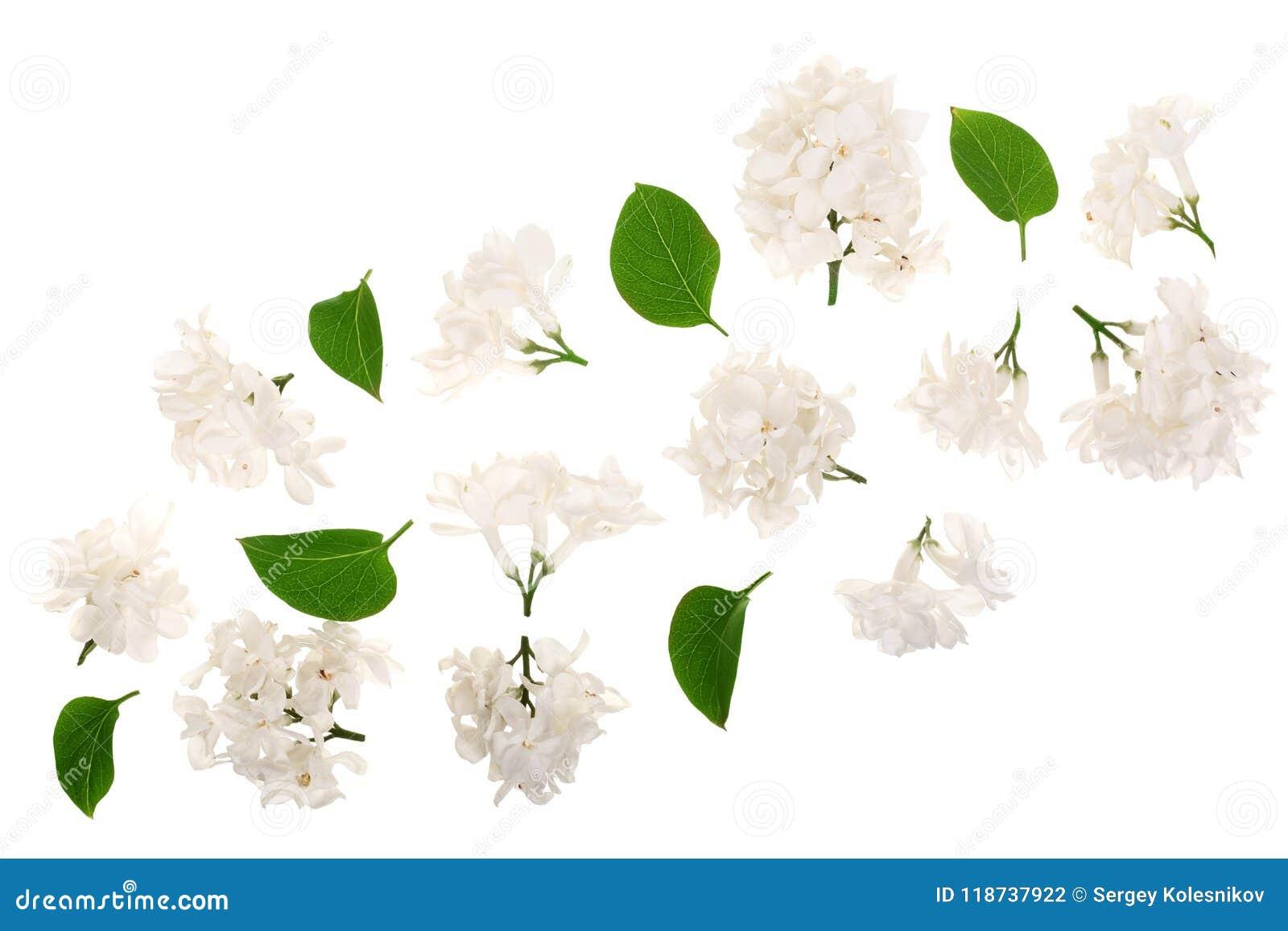 La lila ligera florece, ramifica y las hojas aisladas en el fondo blanco Endecha plana Visión superior