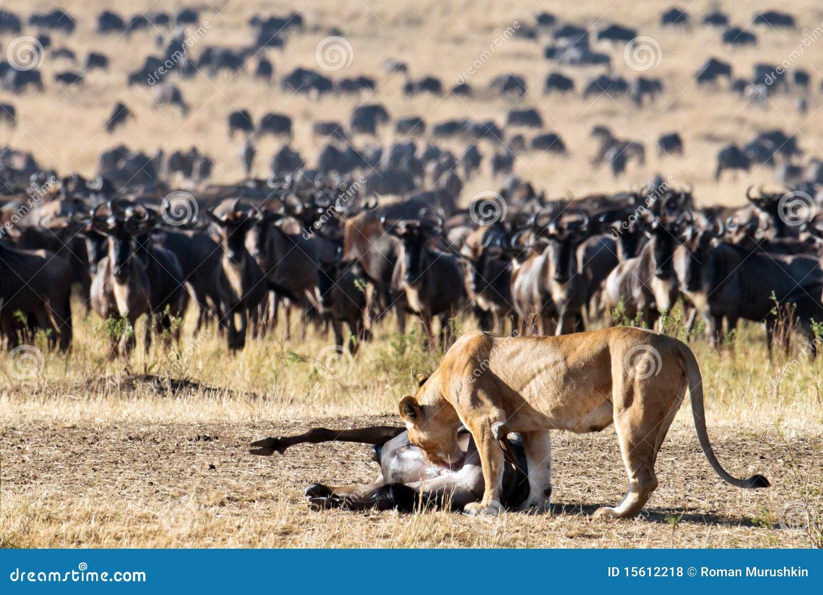 La lionne se penche vers le wildebeest de carcasse